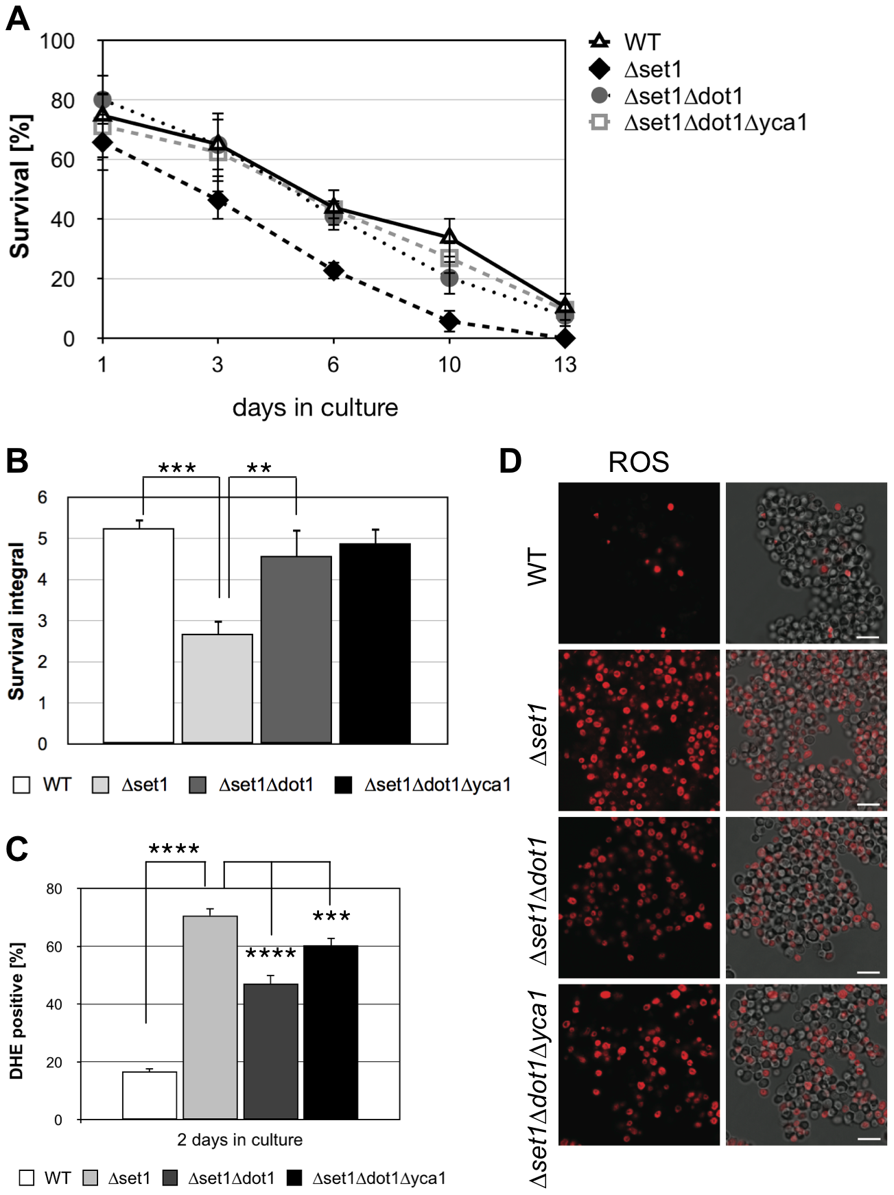 Dot1p is required for Yca1p-dependent cell death of <i>Δset1</i> cells.