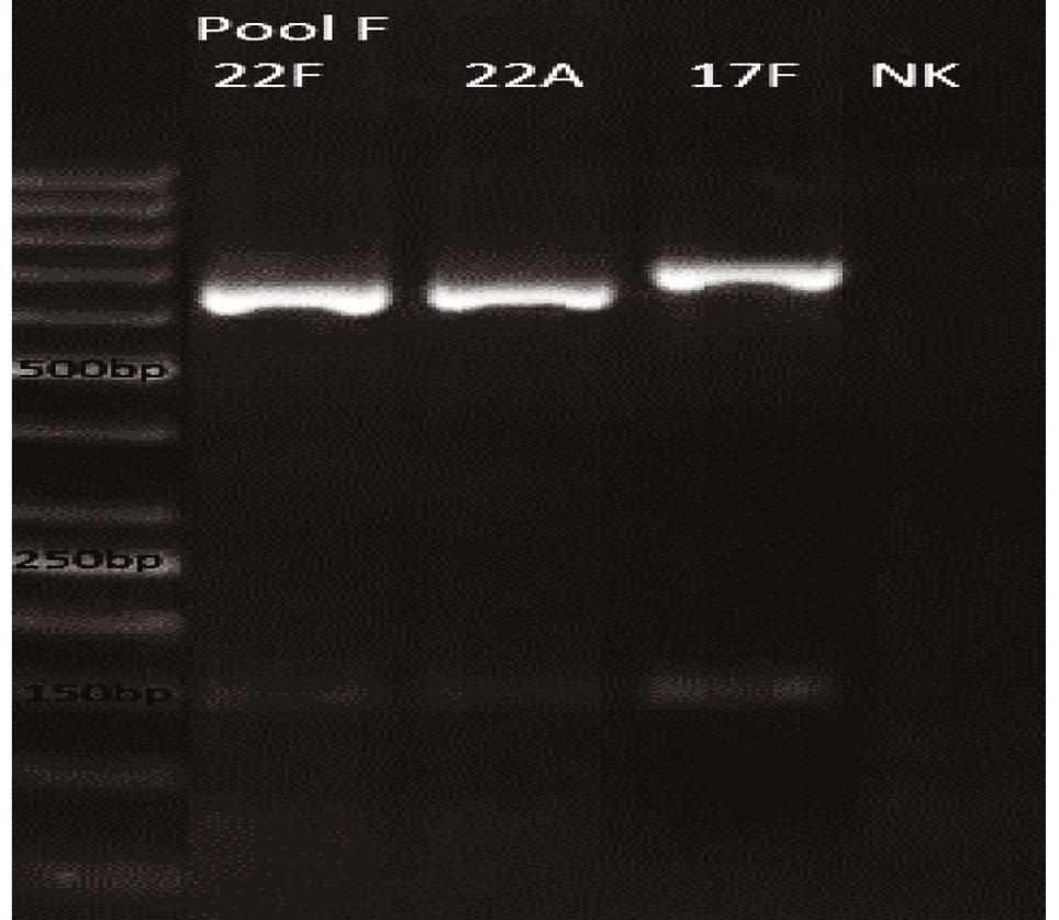 mPCR pool F Dráha 1: 50bp DNA Ladder Dráha 2: <i>S. pneumoniae</i> sérotyp 22F (643bp) Dráha 3: <i>S. pneumoniae</i> sérotyp 22A (643bp) Dráha 4: <i>S. pneumoniae</i> sérotyp 17F (693bp) Dráha 5: negativní kontrola Dráha 2–4: pozitivní produkt cpsA (160bp)<br> Fig. 6. mPCR pool F LLane 1: 50bp DNA Ladder Lane 2: <i>S. pneumoniae</i> serotype 22F (643bp) Lane 3: <i>S. pneumoniae</i> serotype 22A (643bp) Lane 4: <i>S. pneumoniae</i> serotype 17F (693bp) Lane 5: negative control Lanes 2–4: positive product cpsA (160bp)