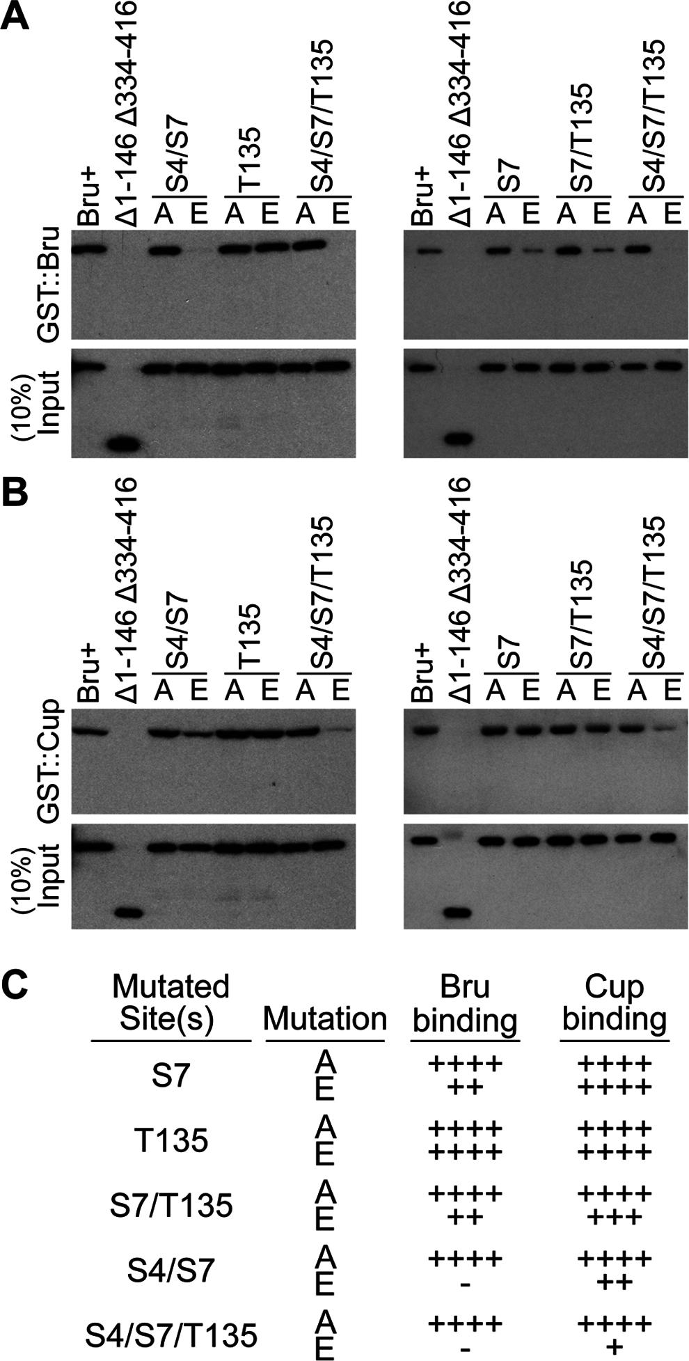 Bru phosphomimetic mutations additively impair both Bru-Cup and Bru-Bru interactions.