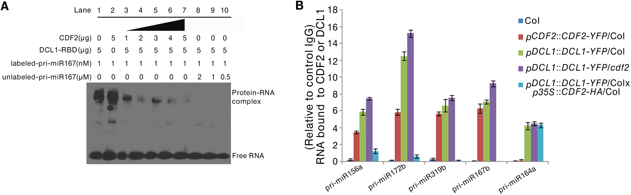 CDF2 binds to pri-miRNAs and affects the binding of DCL1 to pri-miRNAs.
