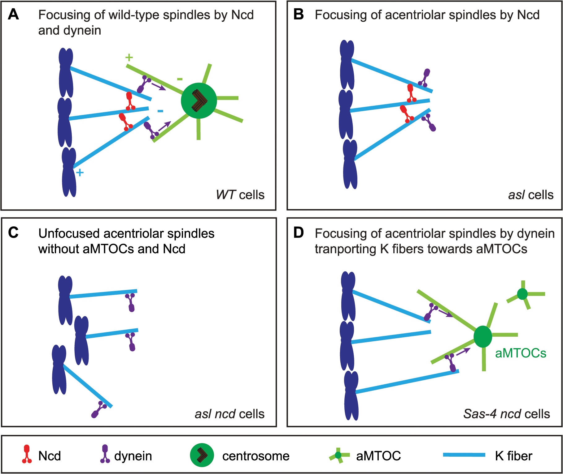 A model for acentriolar spindle pole focusing by the molecular motors dynein and Ncd.