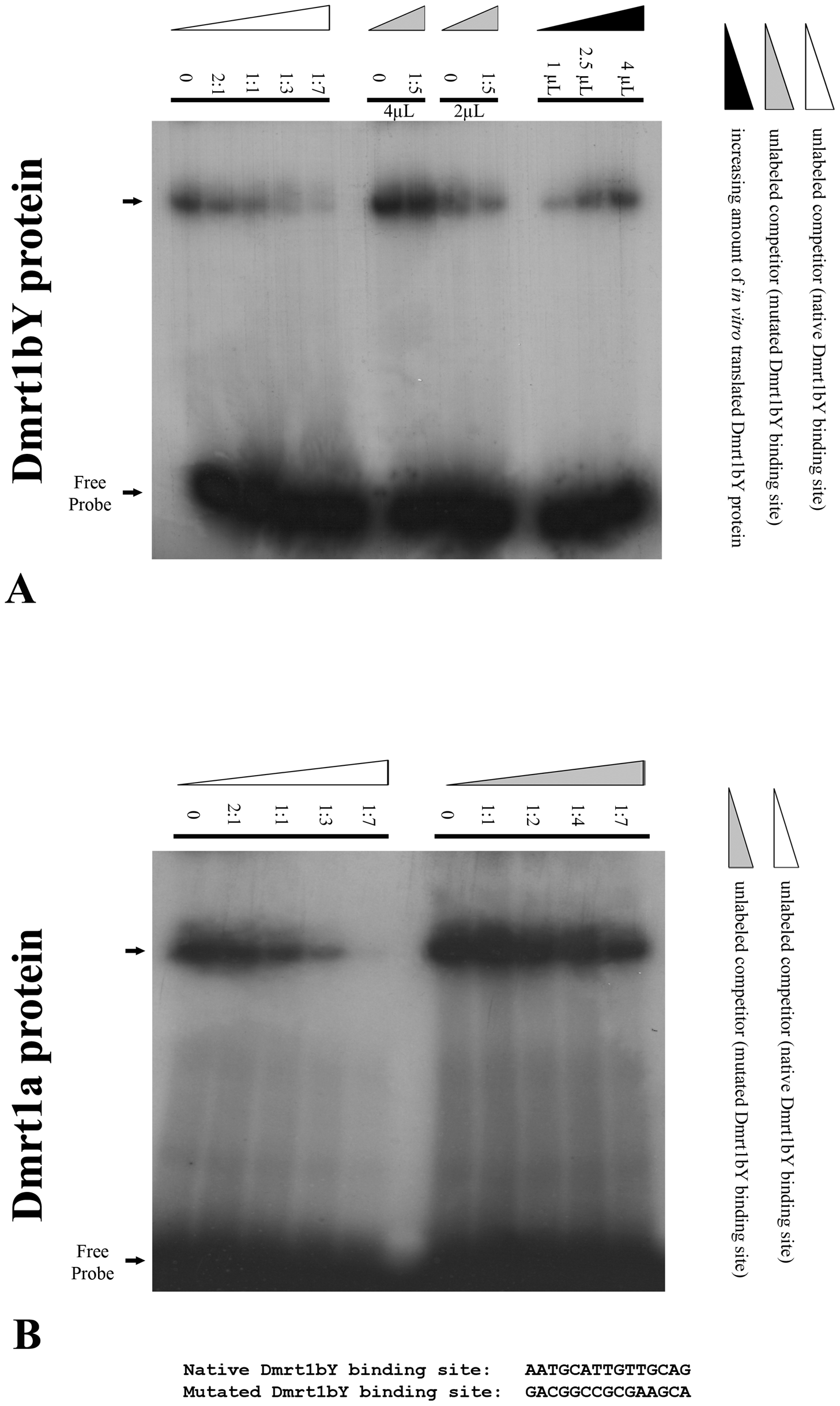 Electrophoretic Mobility Shift Analysis (EMSA) of <i>in vitro</i> translated Dmrt1bY protein interaction with the Dmrt1 binding target derived from its own promoter.