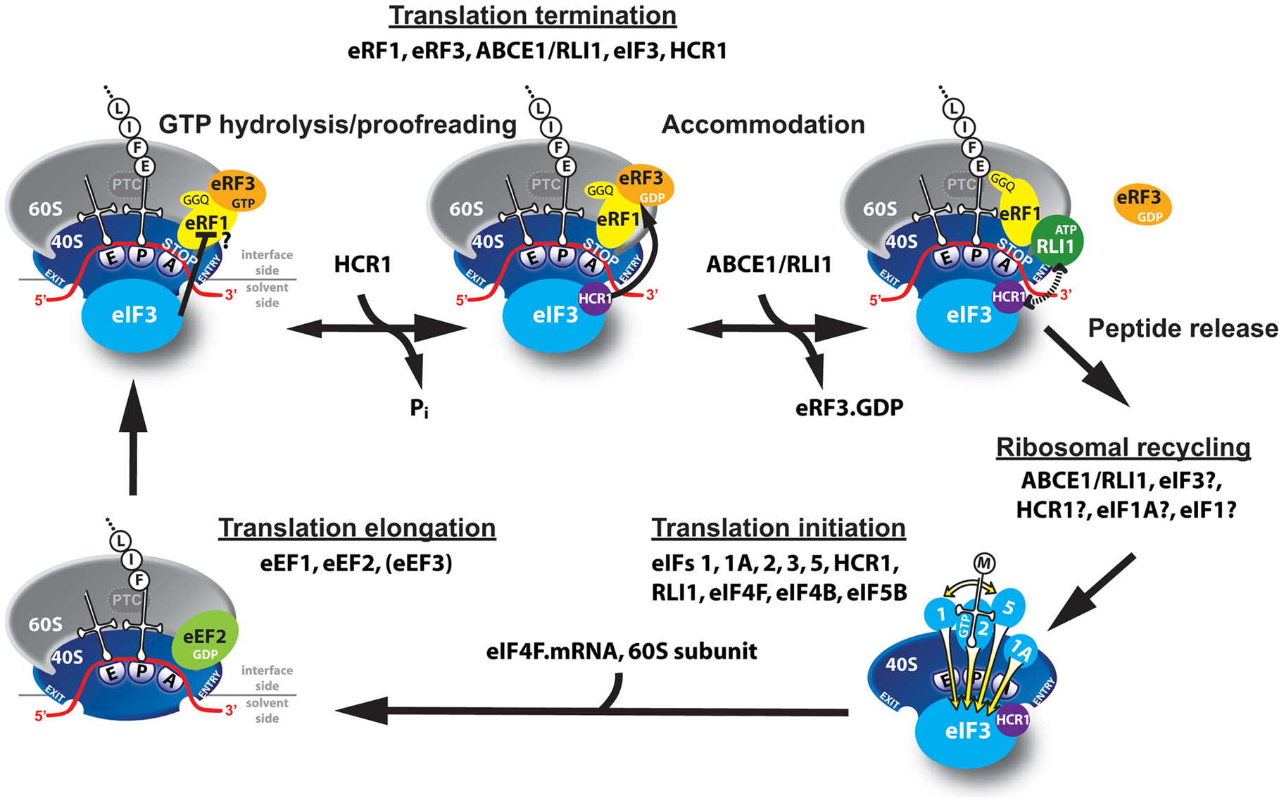 Model of eIF3 and HCR1 involvement in yeast translation termination.