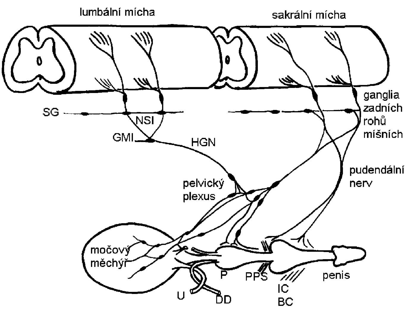 Schéma zobrazující sympatickou, parasympatickou a somatickou inervaci dolních močových cest (4) Sympatická preganglionární vlákna vycházejí z lumbální míchy a procházejí řetězcem sympatických ganglii (SG) a dále přes nervus splanchnicus inferior (NSI) k dolnímu mesenterickému gangliu (GMI). Preganglionární a postganglionární sympatické axony poté vstupují cestou hypogastrického nervu (HGN) do pelvického plexu a urogenitálních orgánů.  Parasympatické preganglionární axony vycházející ze sakrální míchy probíhají pelvickým nervem do ganglionárních buněk pelvického plexu nebo distálních orgánových ganglií. Sakrální somatická vlákna procházejí pudendálním nervem, který inervuje penis a musculus ischiocavernosus (IC), bulbocavernosus (BC) a příčně pruhovaný svěrač (PPS). Do pudendálního a pelvického nervu vedou také postganglionární axony z kaudálních sympatických ganglií. Zkratky: ureter (U), prostata (P), ductus deferens (DD).