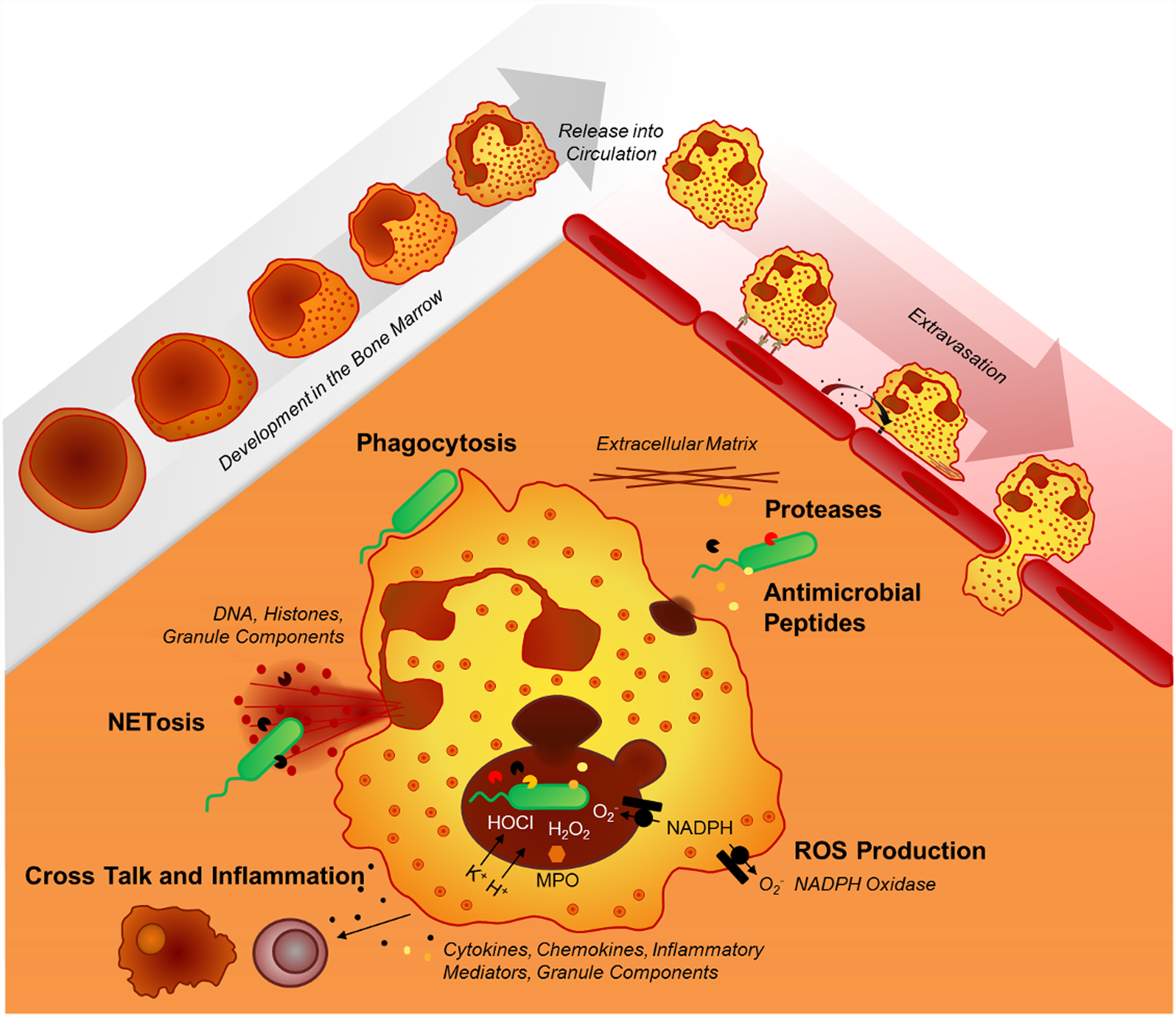 Neutrophil effector mechanisms.