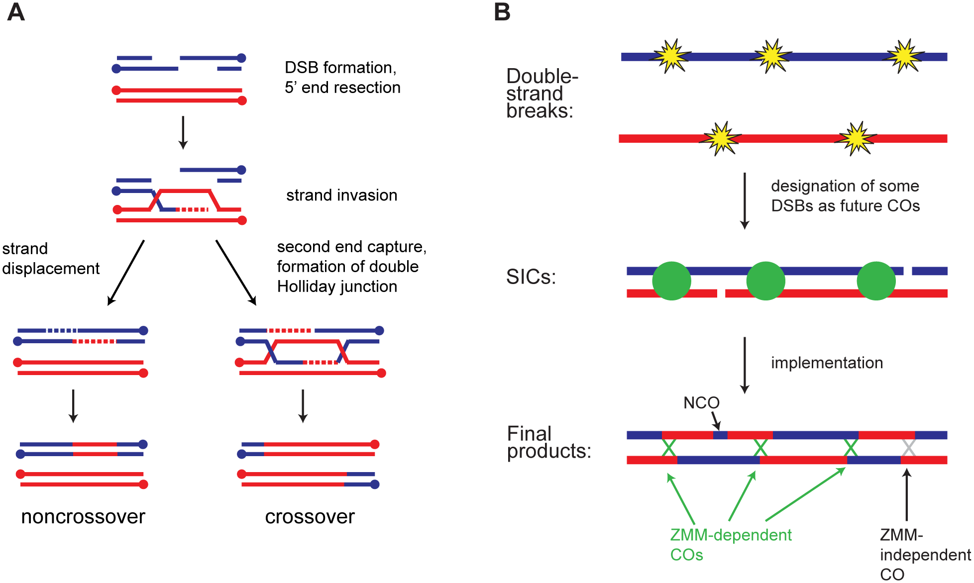 Overview of meiotic recombination.