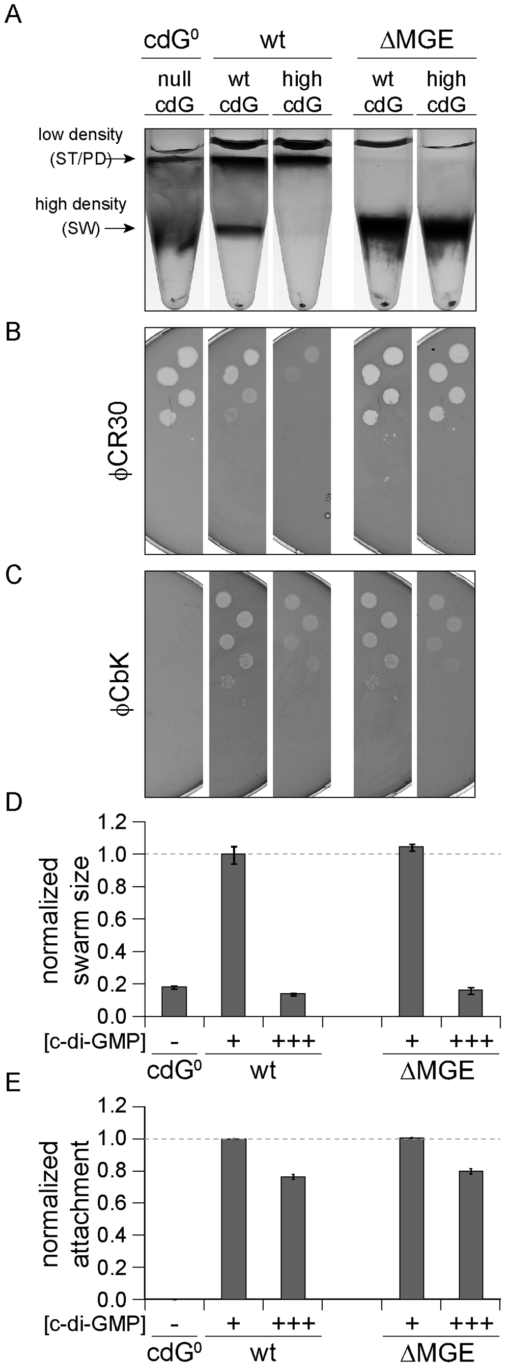 Cell density and φCR30 phage sensitivity are regulated by c-di-GMP via a mobile genetic element.