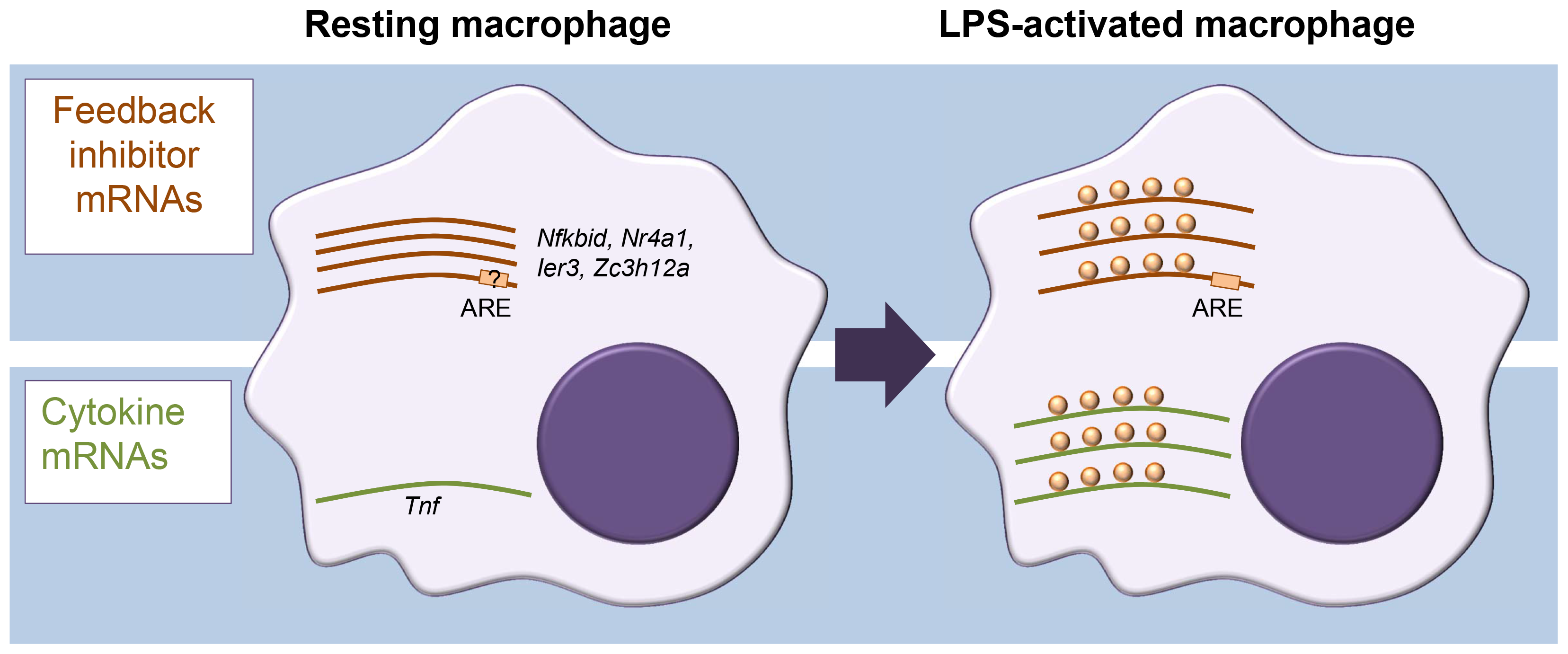 Different modes of mRNA regulation in inflammation.