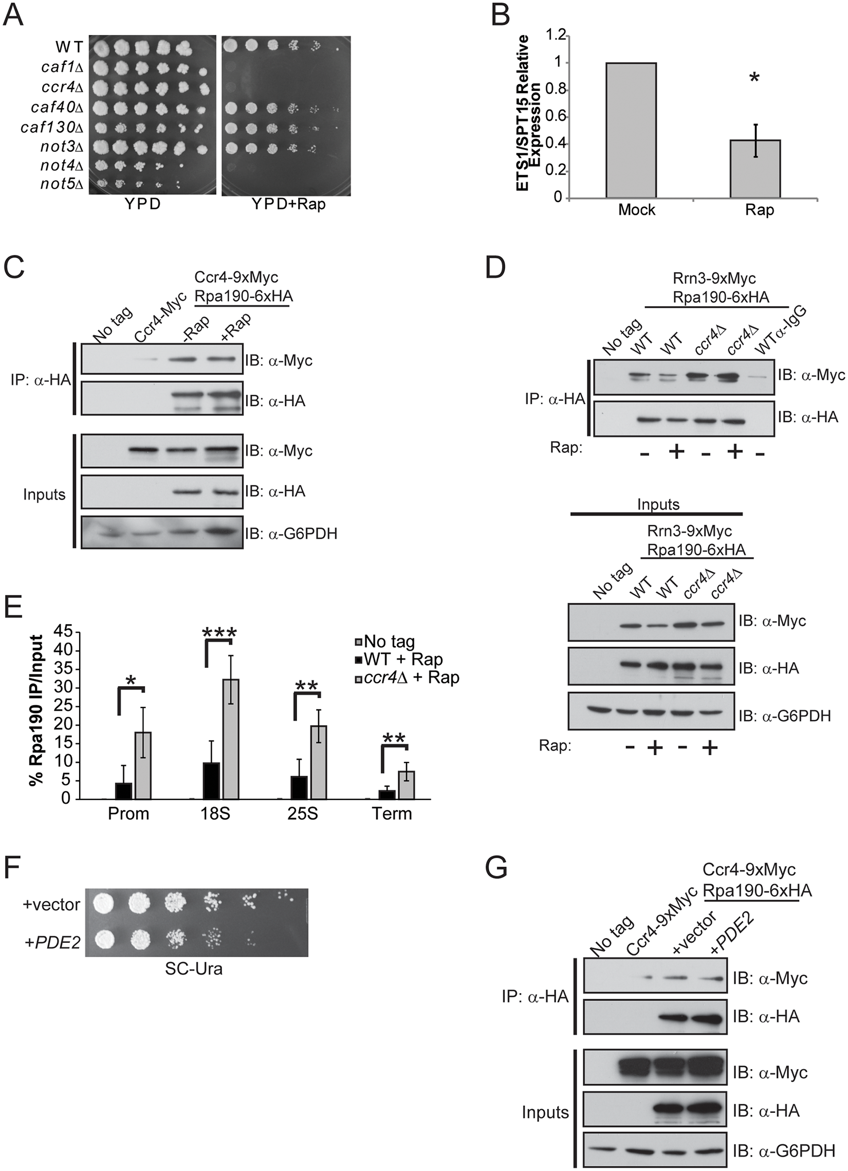 mTORC1 regulation of Rrn3-Pol initiation complex formation depends on functional Ccr4-Not.