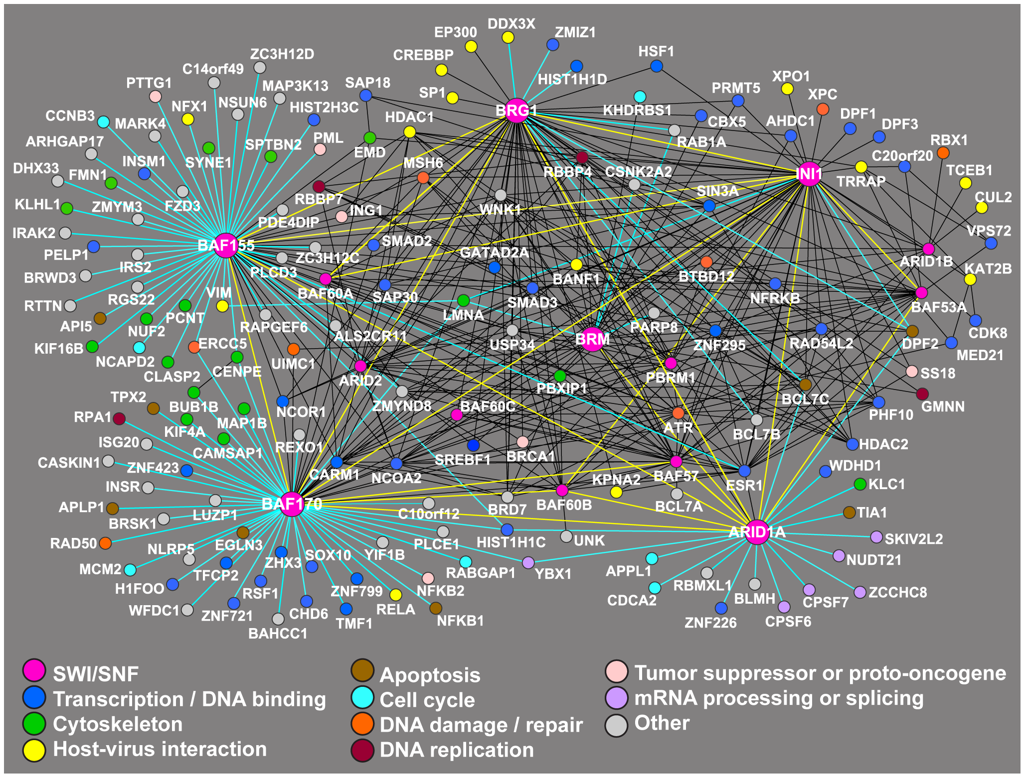 Network of proteins that have been shown to co-purify with SWI/SNF factors.
