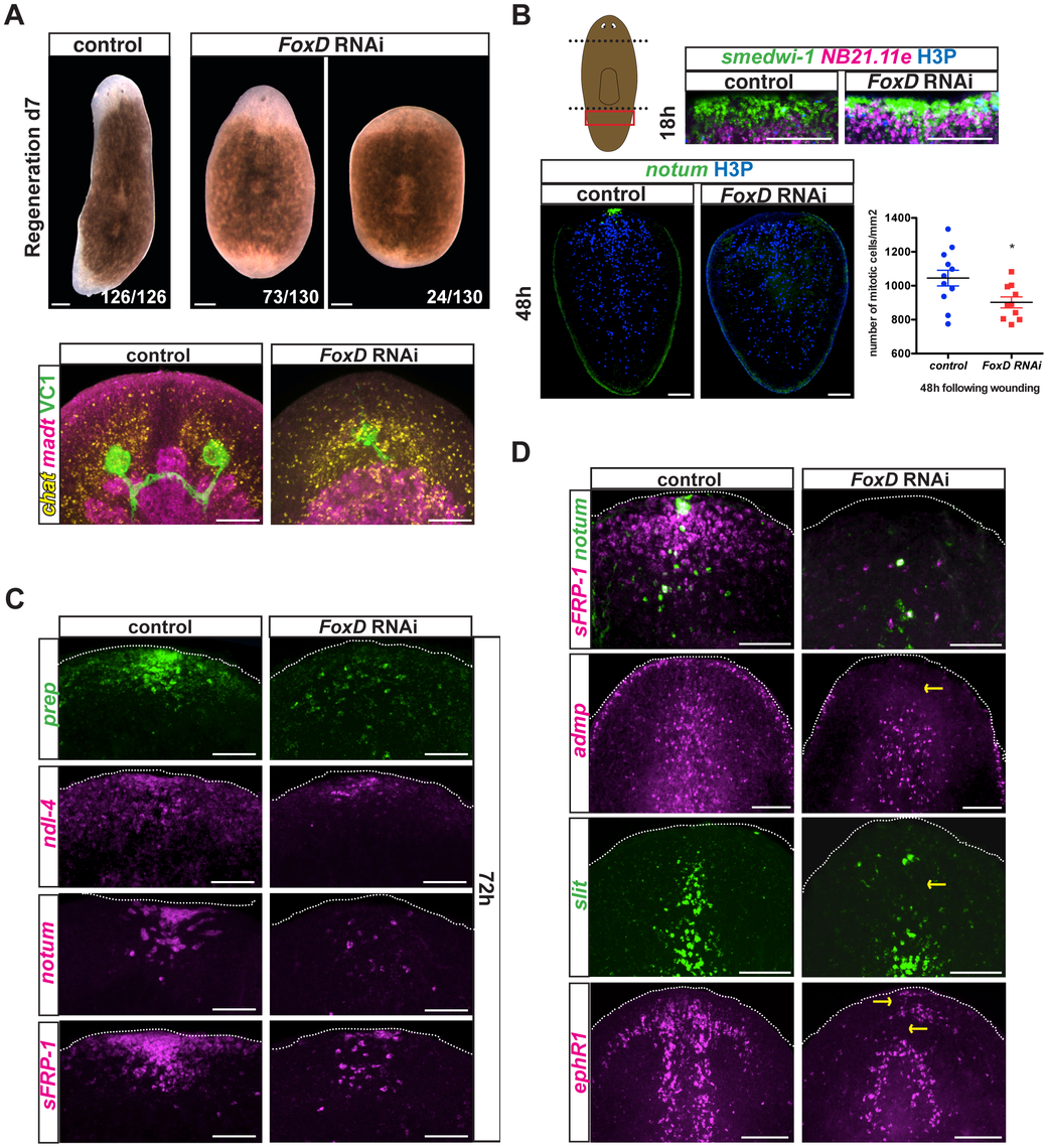 <i>FoxD(RNAi)</i> animals display abnormal anterior pole, head patterning and midline gene expression.