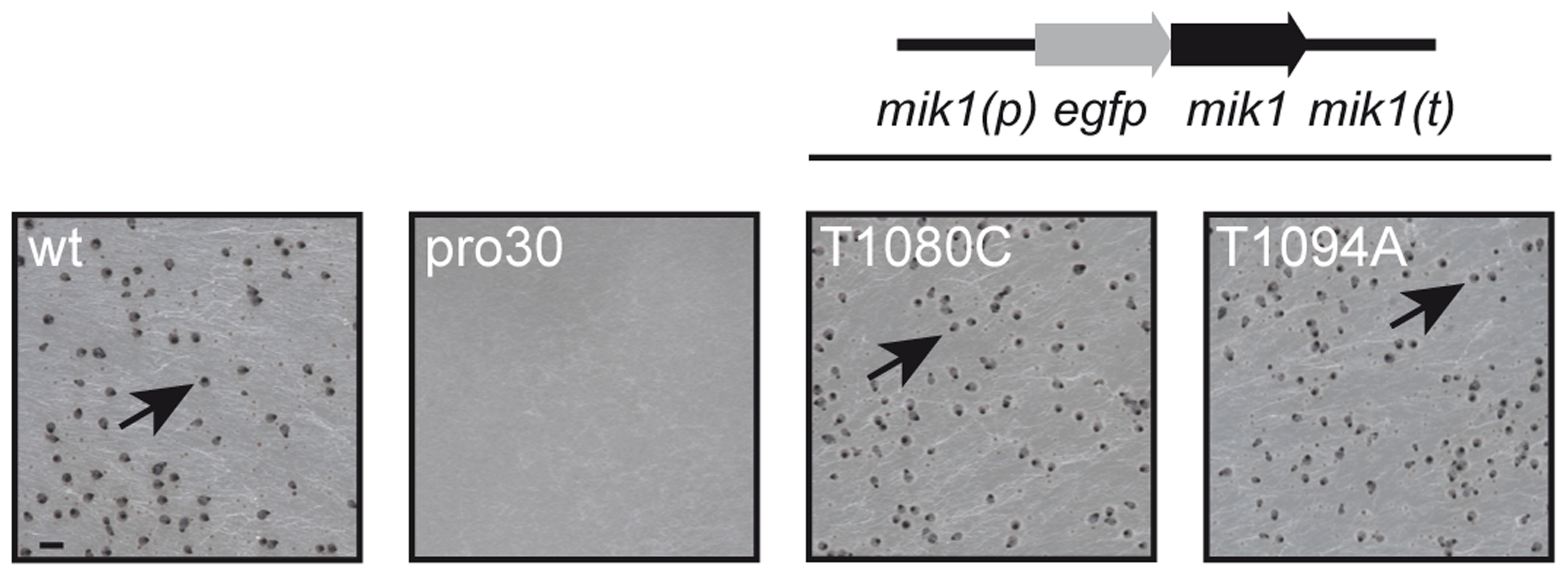 Complementation of pro30 with full-length <i>mik1</i>.