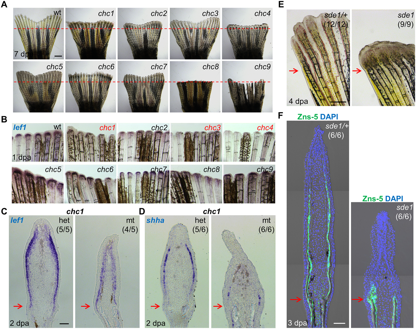Forward genetic screen for signaling defects in the fin regeneration epidermis.