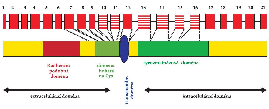 RET proto-onkogen s vyznačenými typickými funkčními doménami. Gen je tvořen 21 exony, což představuje 55 kb genetického materiálu. Rizikové exony 10, 11, 13, 14, 15, a 16 pro vznik MTC jsou vyznačeny šrafovaně.