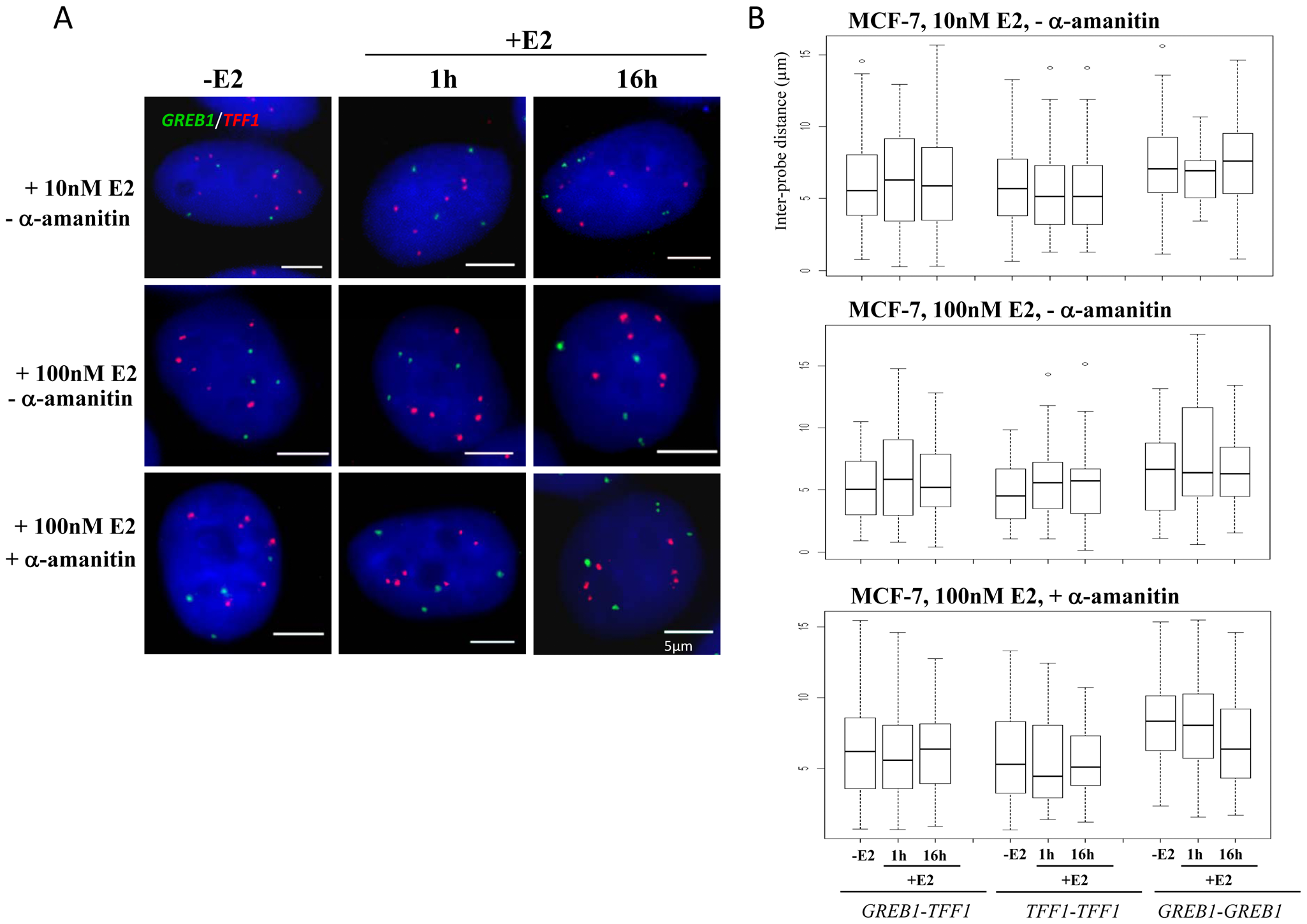 <i>TFF1</i> and <i>GREB1</i> nuclear organisation in ERα–positive MCF-7 breast cancer cells.