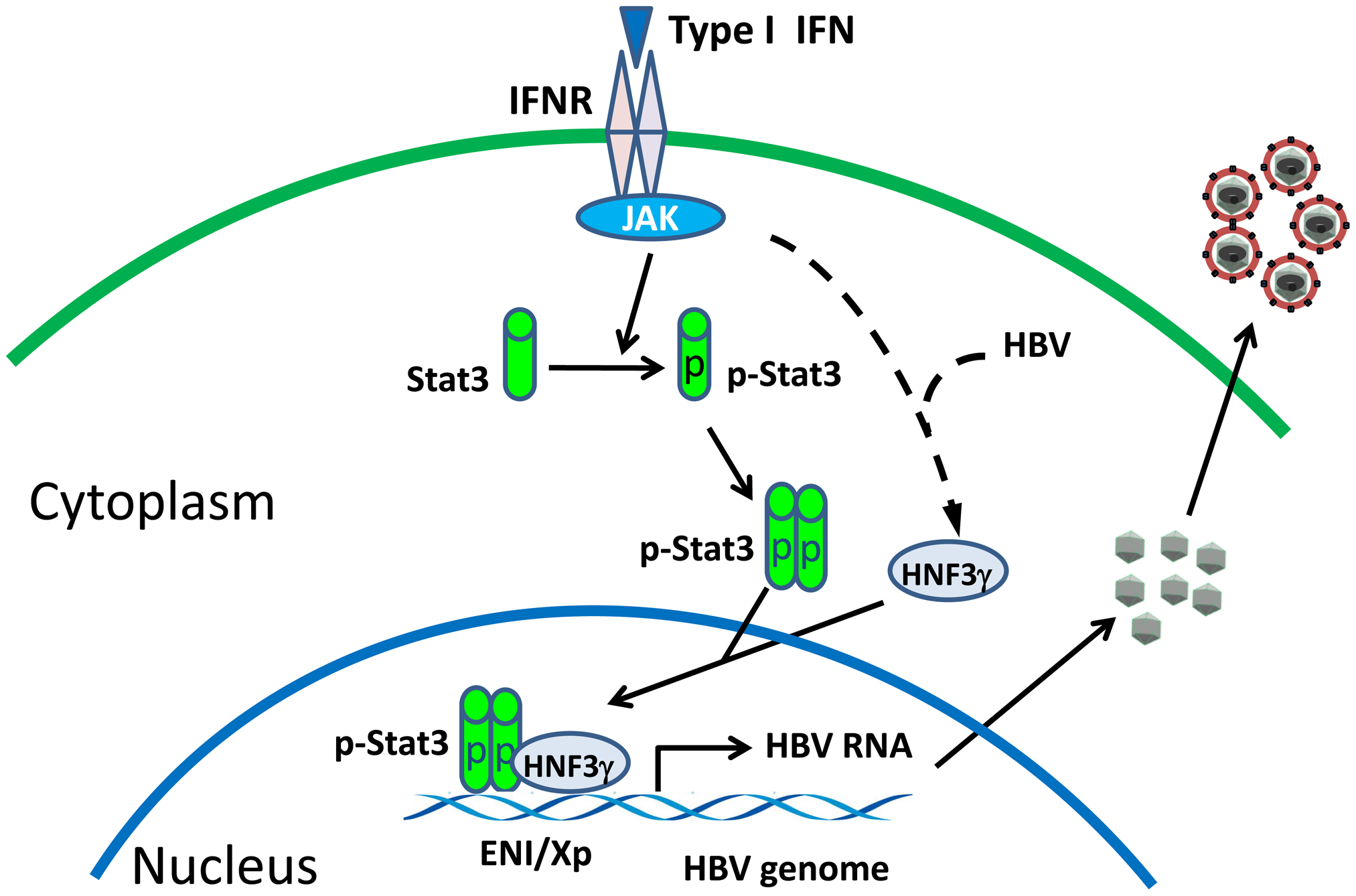 Mechanism of the activation of HBV replication by IFN- α/β when the HBV level is low.