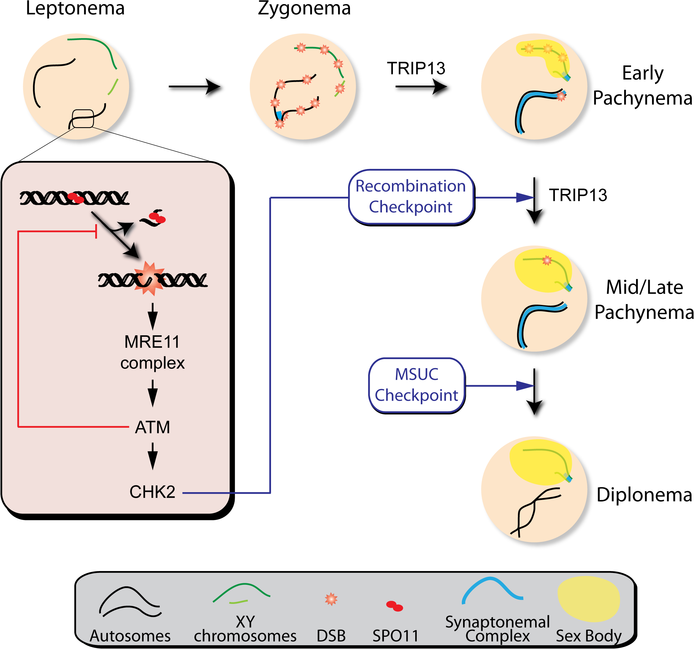 Functions of the ATM signaling pathway during mouse meiotic prophase.