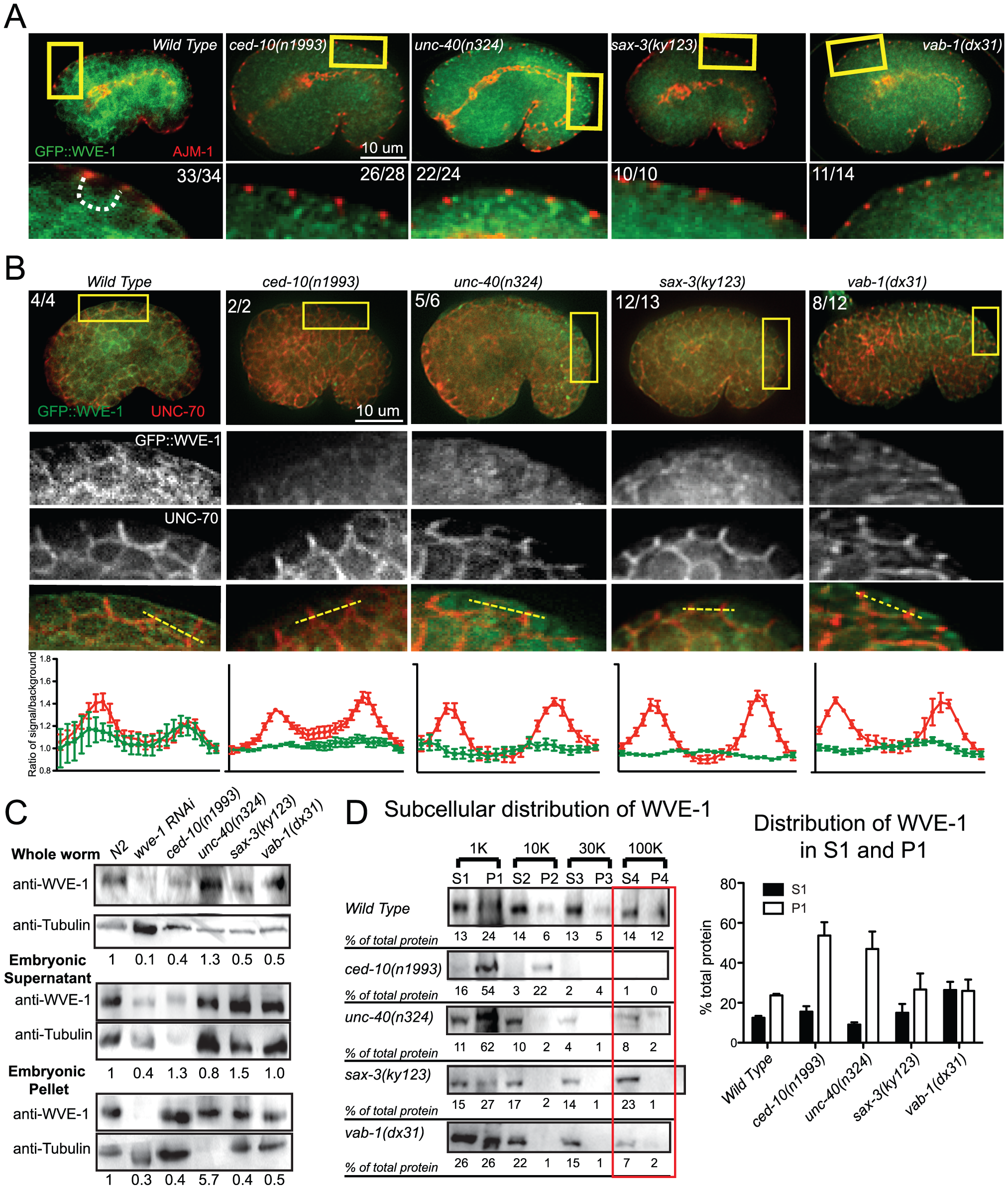 Guidance receptors affect subcellular distribution and levels of WAVE/SCAR.