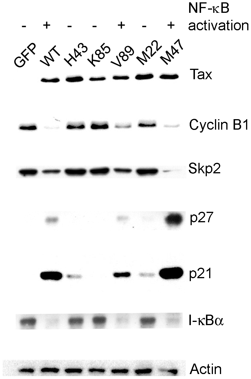 NF-κB activation by Tax correlates with induction of cellular senescence.