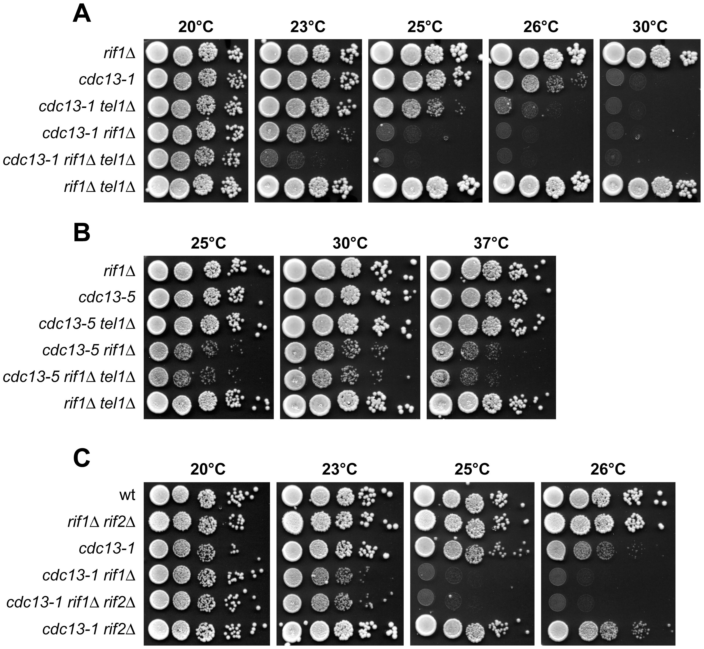 Effect of deleting <i>TEL1</i> or <i>RIF2</i> on growth of <i>cdc13 rif1Δ</i> cells.