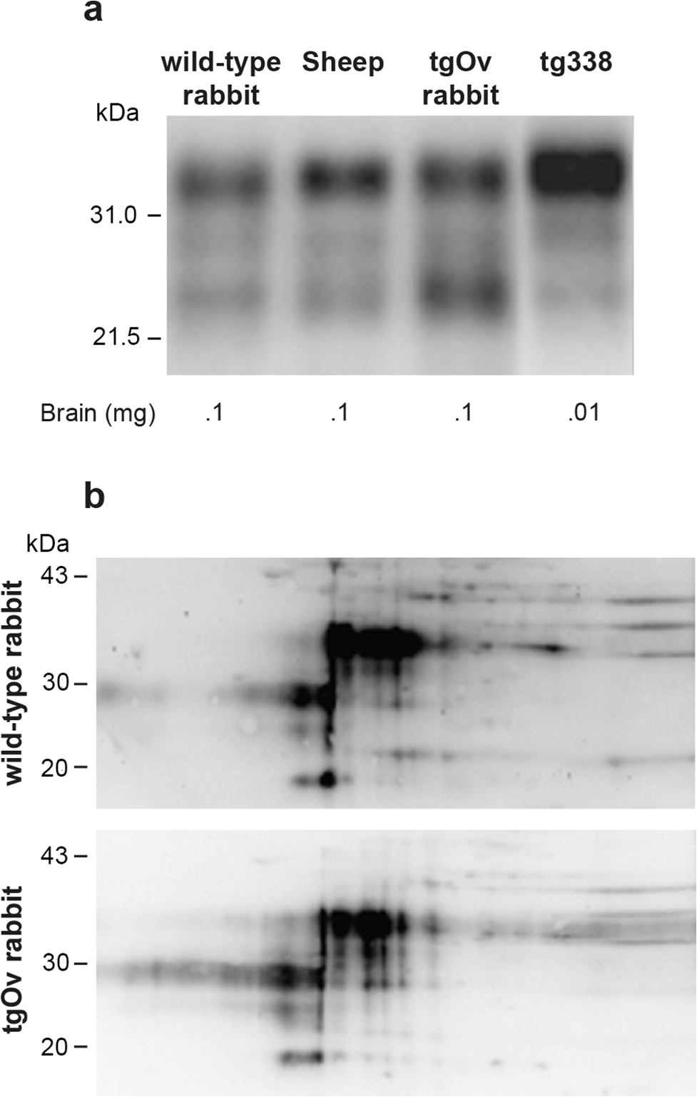 Imunoblot analyses of PrP in the brains of wild-type and ovine PrP transgenic rabbits.