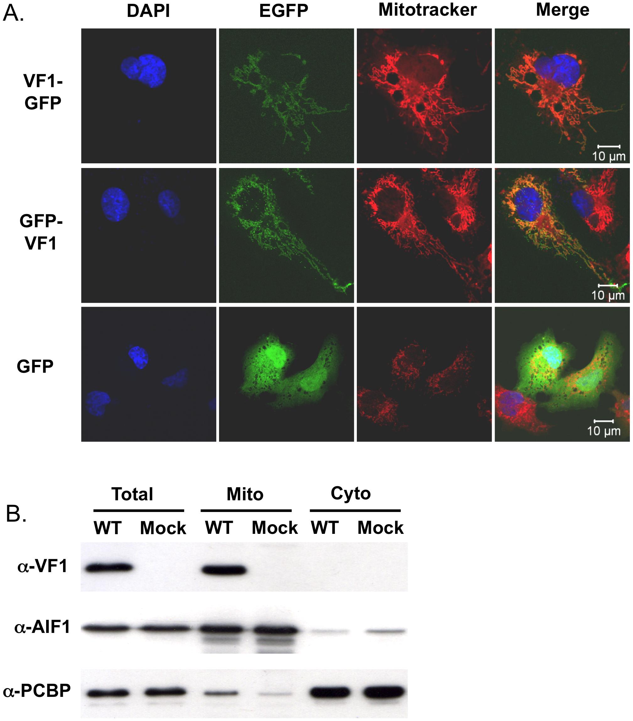 VF1 localizes to mitochondria.