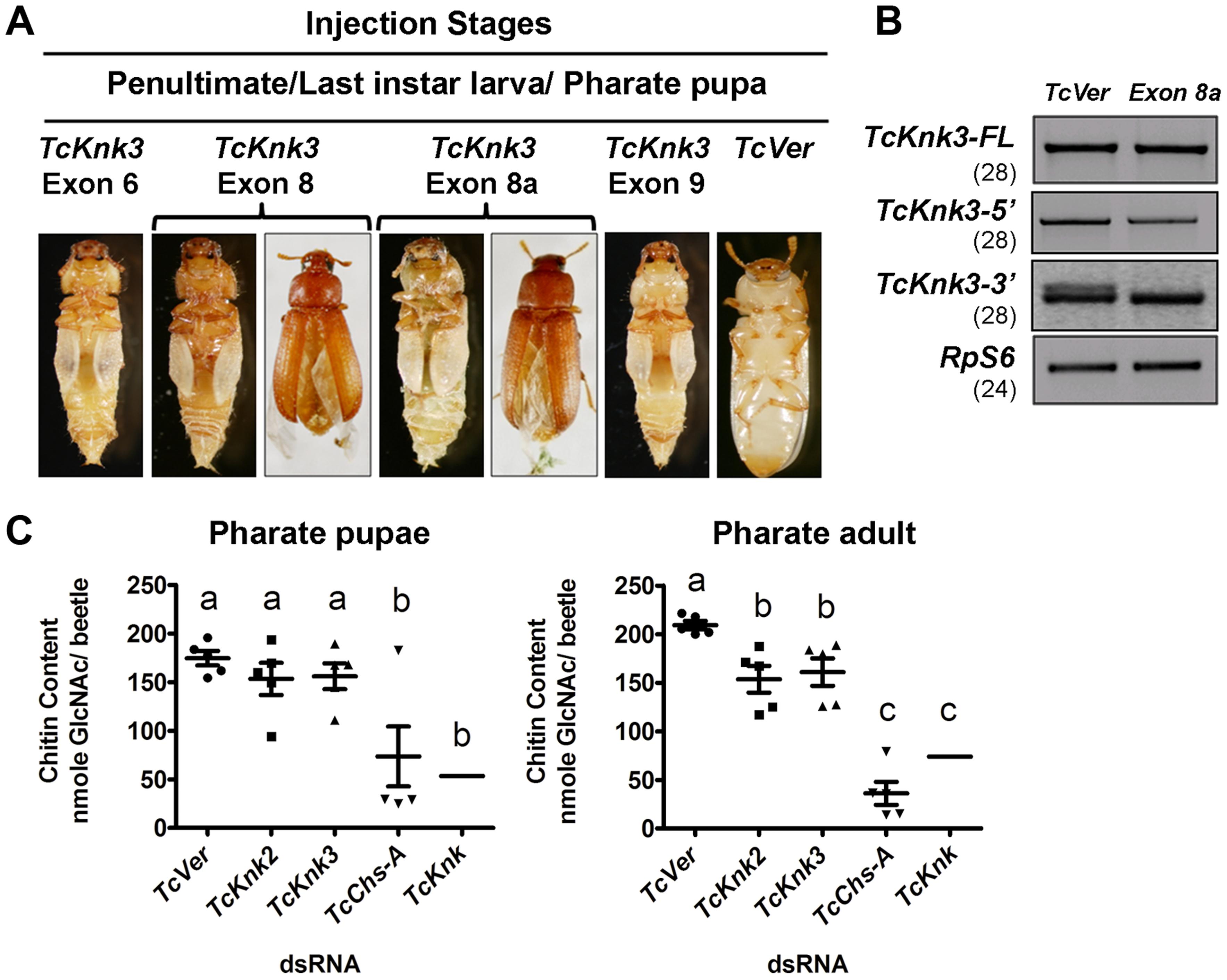 Effect of <i>TcKnk3</i> dsRNA-treatment on the development of <i>T. castaneum</i>.