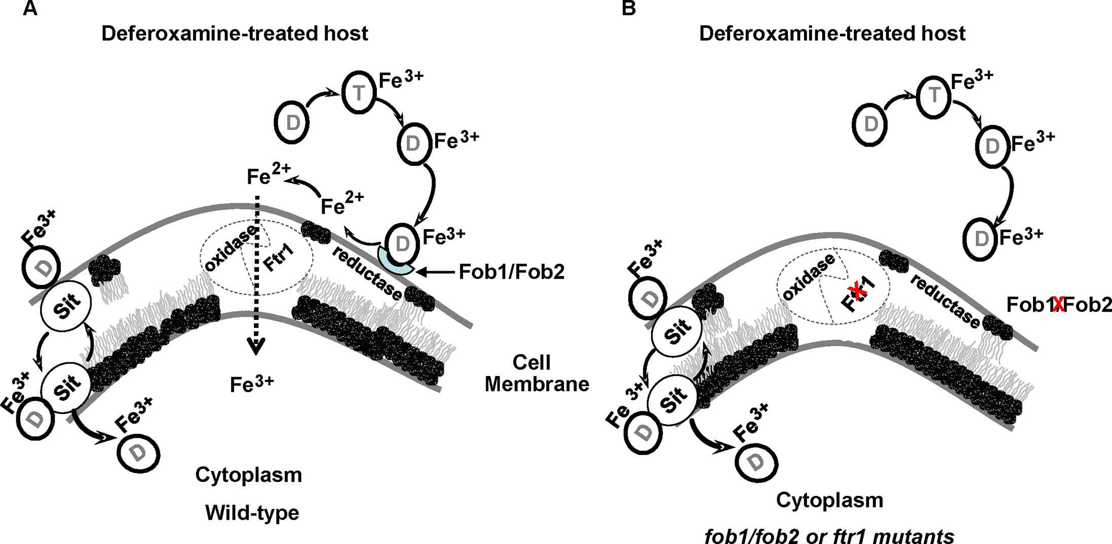 Proposed mechanism of iron uptake by <i>R</i>. <i>oryzae</i> from ferrioxamine.