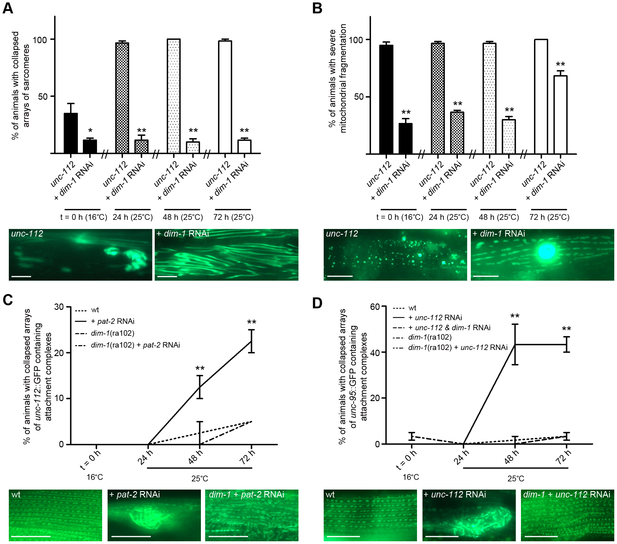 Loss of <i>dim-1</i> suppresses attachment complex collapse and resulting pathologies.