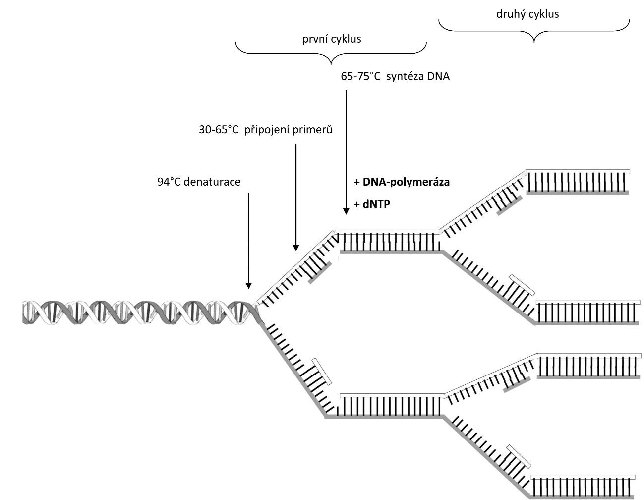 Schéma PCR reakce