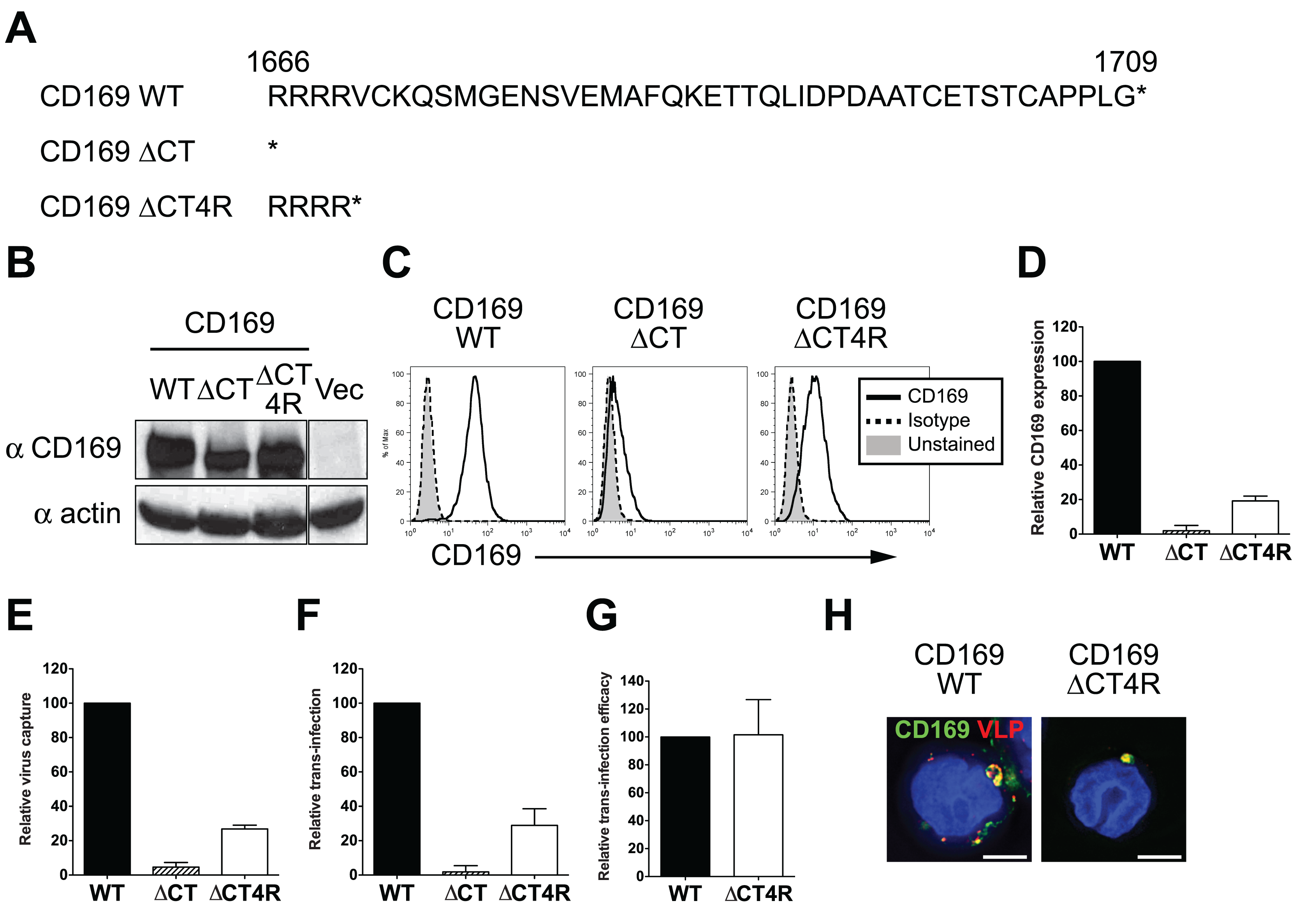 The cytoplasmic tail (CT) of CD169 is dispensable for mediating HIV-1 trans-infection.