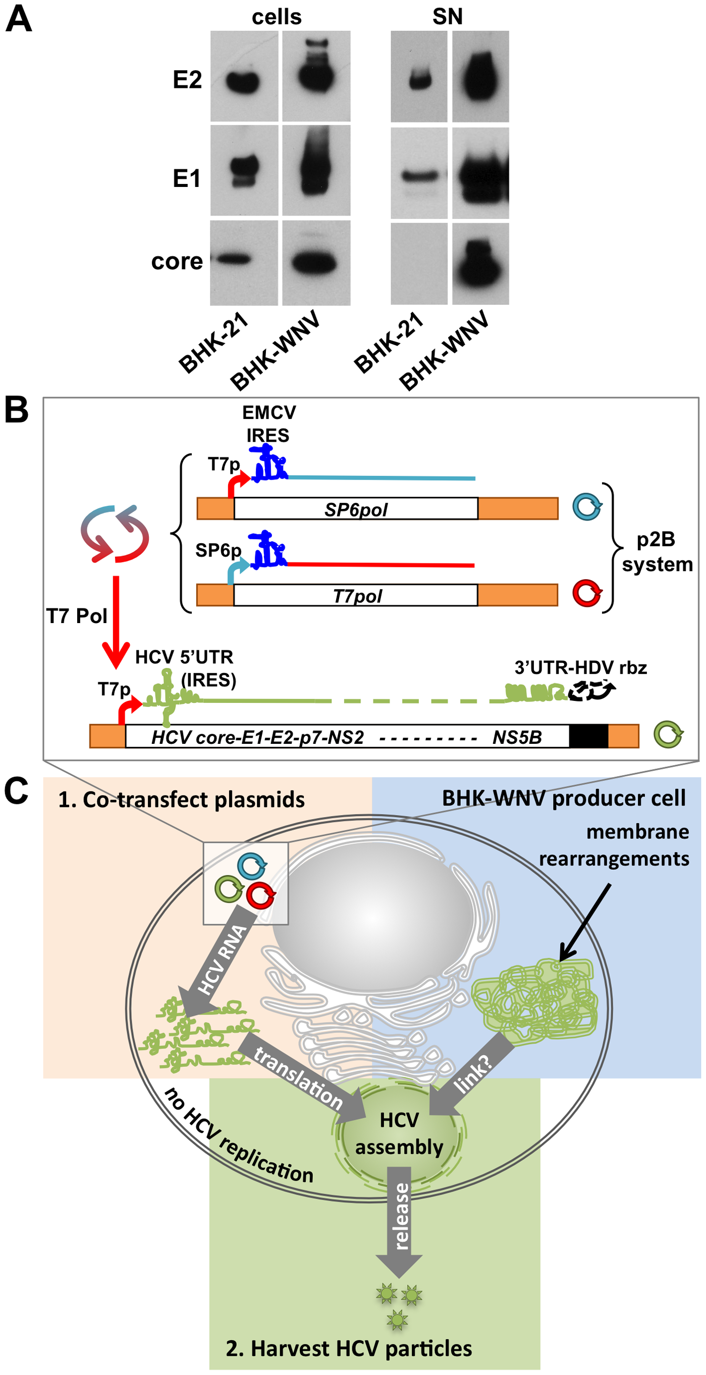 WNV subgenomic replicon enhances the release of HCV particles.