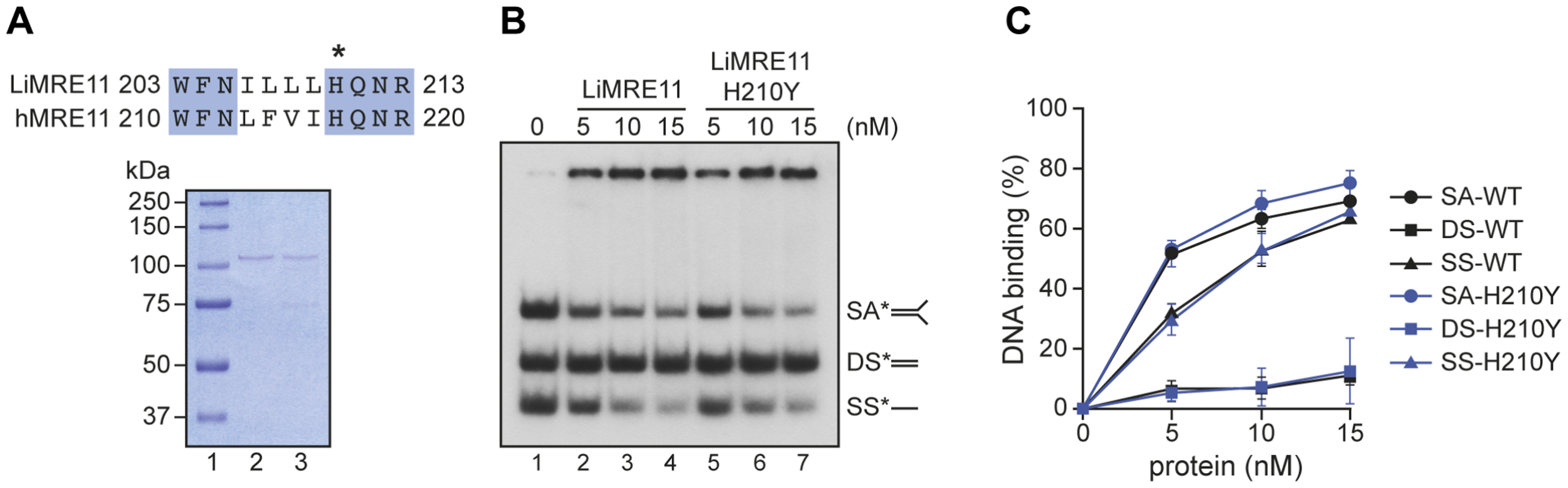 Purification and DNA binding of the <i>L. infantum</i> MRE11 protein.