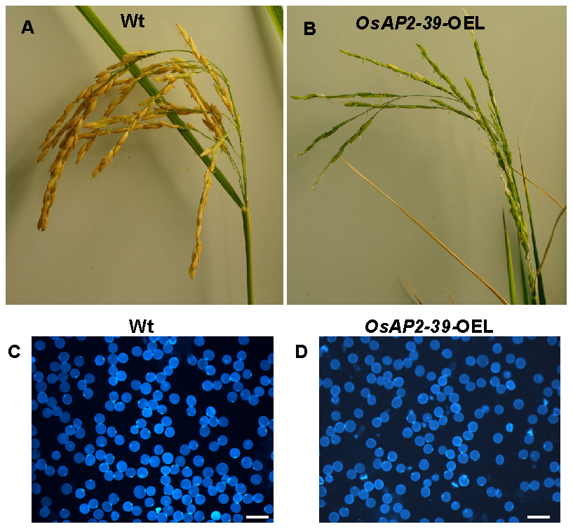 The overexpression of <i>OsAP2-39</i> in the flowers caused a reduction in the rice yield.