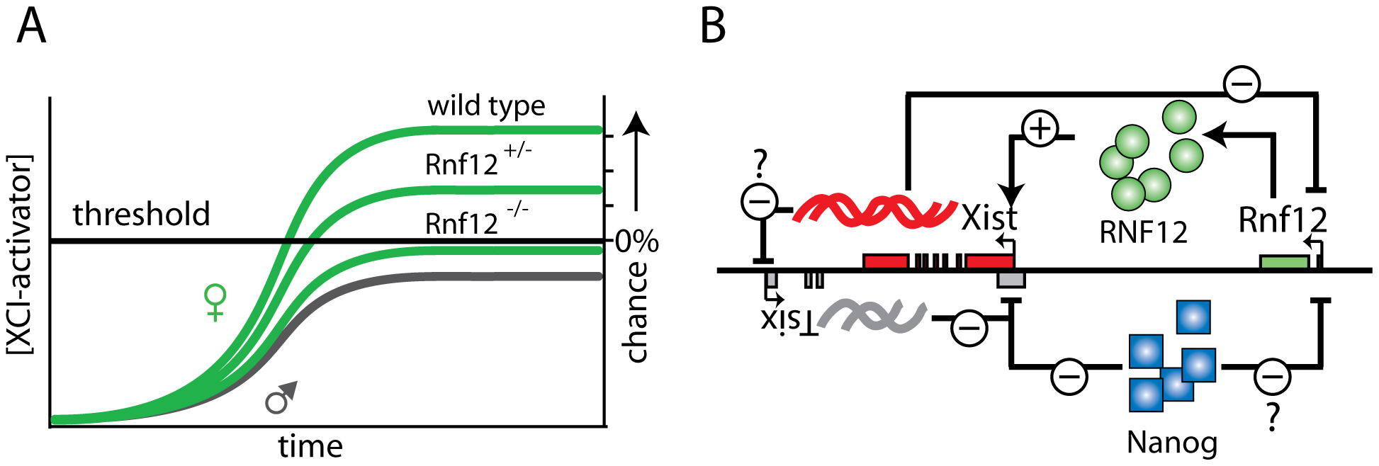 Rnf12 and its role in the XCI regulatory network.