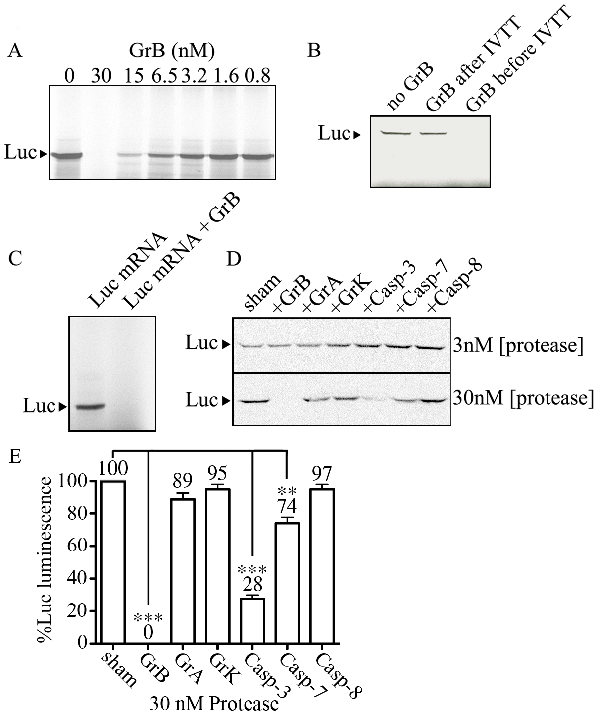 GrB inhibits <i>in vitro</i> translation of Luc.