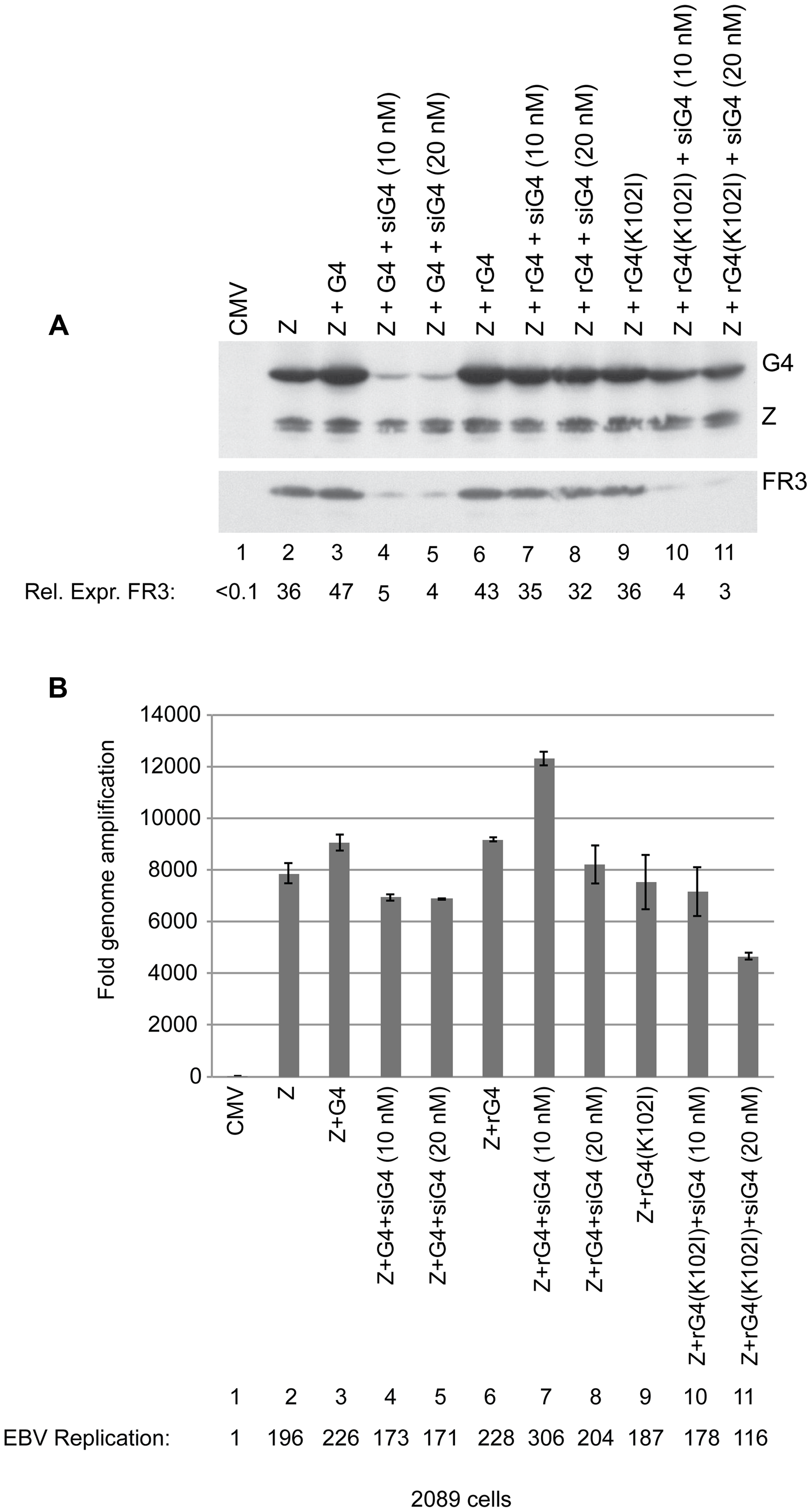 Silent mutations in BGLF4 override the effect of siG4 on late gene expression.