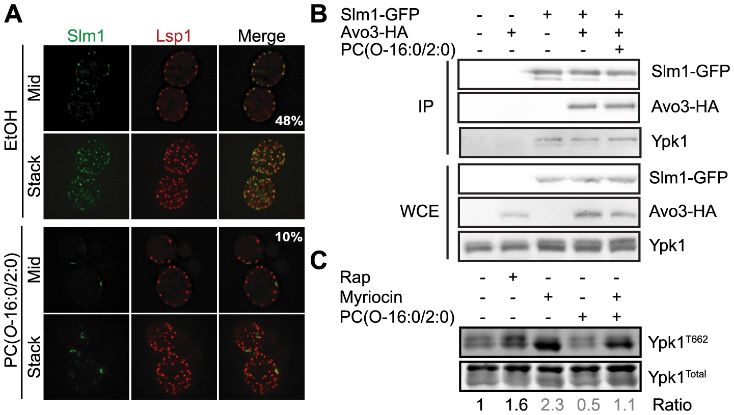 Relocalization of Slm1 by PC(<i>O</i>-16:0/2:0) does not mediate the inhibition of TORC2 signaling.