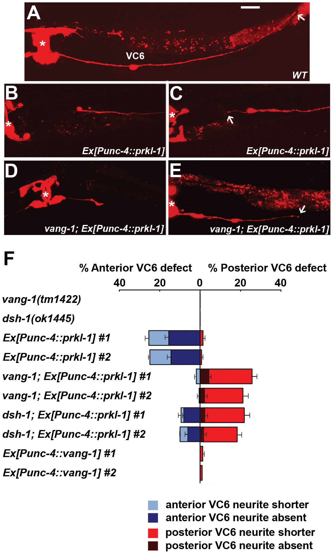PRKL-1 overexpression in the vulval-distal VC6 neuron inhibits neurite growth.