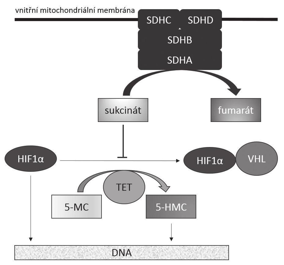 """Mechanizmus onkogeneze SDHB-deficientních GISTů Funkční komplex SDH zakotvený ve vnitřní mitochondriální membráně katalyzuje přeměnu sukcinátu na fumarát. Akumulace sukcinátu, k níž dochází při deficienci katalytické aktivity enzymu, má za následek jednak stabilizaci transkripčního faktoru HIF1α v aktivním stavu, což vede k transkripci genů zúčastněných v angiogenezi (jako třeba VEGF), jednak k inhibici dioxygenáz z rodiny TET. Tím dochází k nedostatečné hydroxylaci 5-metylcytozinu na 5-hydroxymetylcytozin s následnou změnou struktury metylace DNA vedoucí k aberantní expresi genů. SDHA, SDHB, SDHC, SDHD: jednotlivé hlavní podjednotky sukcinátdehydrogenázy (SDH) HIF1-α: hypoxií inducibilní faktor 1α VHL: proteinový produkt genu VHL (von Hippel – Lindau) TET: rodina proteinů TET (""""Translocated in liposarcoma, Ewing's sarcoma and TATA-binding protein-associated factor 15"""", tedy TLS/FUS, EWS, TAF15) 5-MC: 5-metylcytozin 5-HMC: 5-hydroxymetylcytozin"""