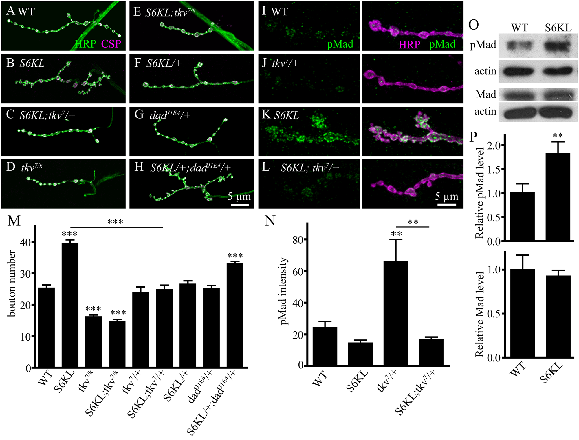 Genetic interactions between <i>S6KL</i> and components of the BMP signaling pathway in regulating NMJ growth.