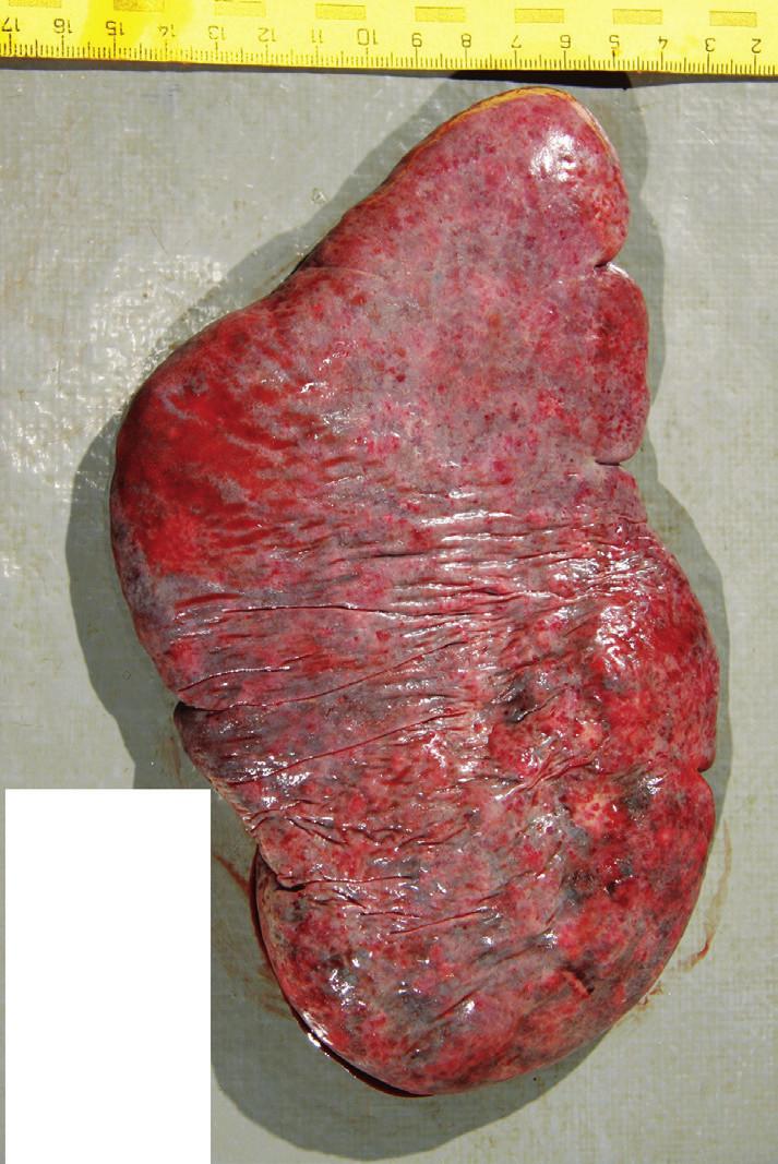 Celkový pohľad na konvexnú plochu (facies diaphragmatica) sleziny.