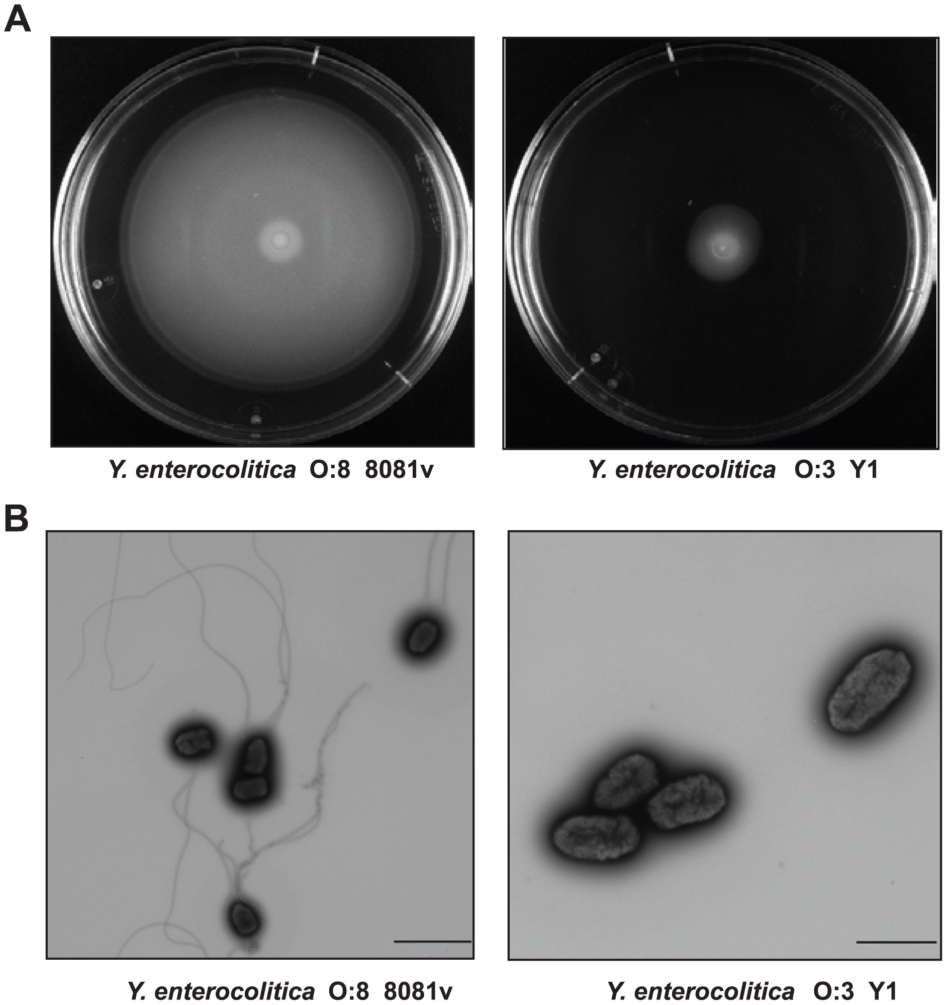 Motility and flagellation of <i>Y. enterocolitica</i> O:3 and O:8.
