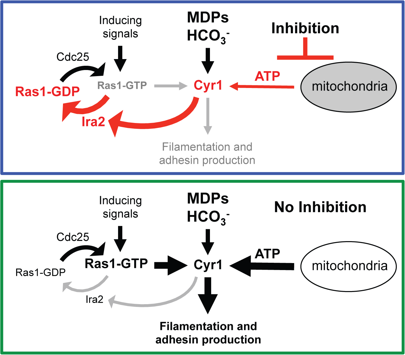 New model of the Ras1-Cyr1 signaling pathway.