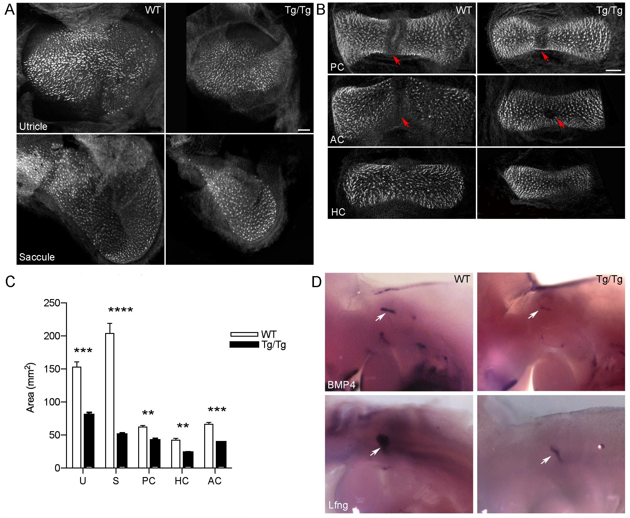 Mutation of <i>Sfswap</i> causes smaller vestibular cristae and maculae and misplaced eminentia cruciata.