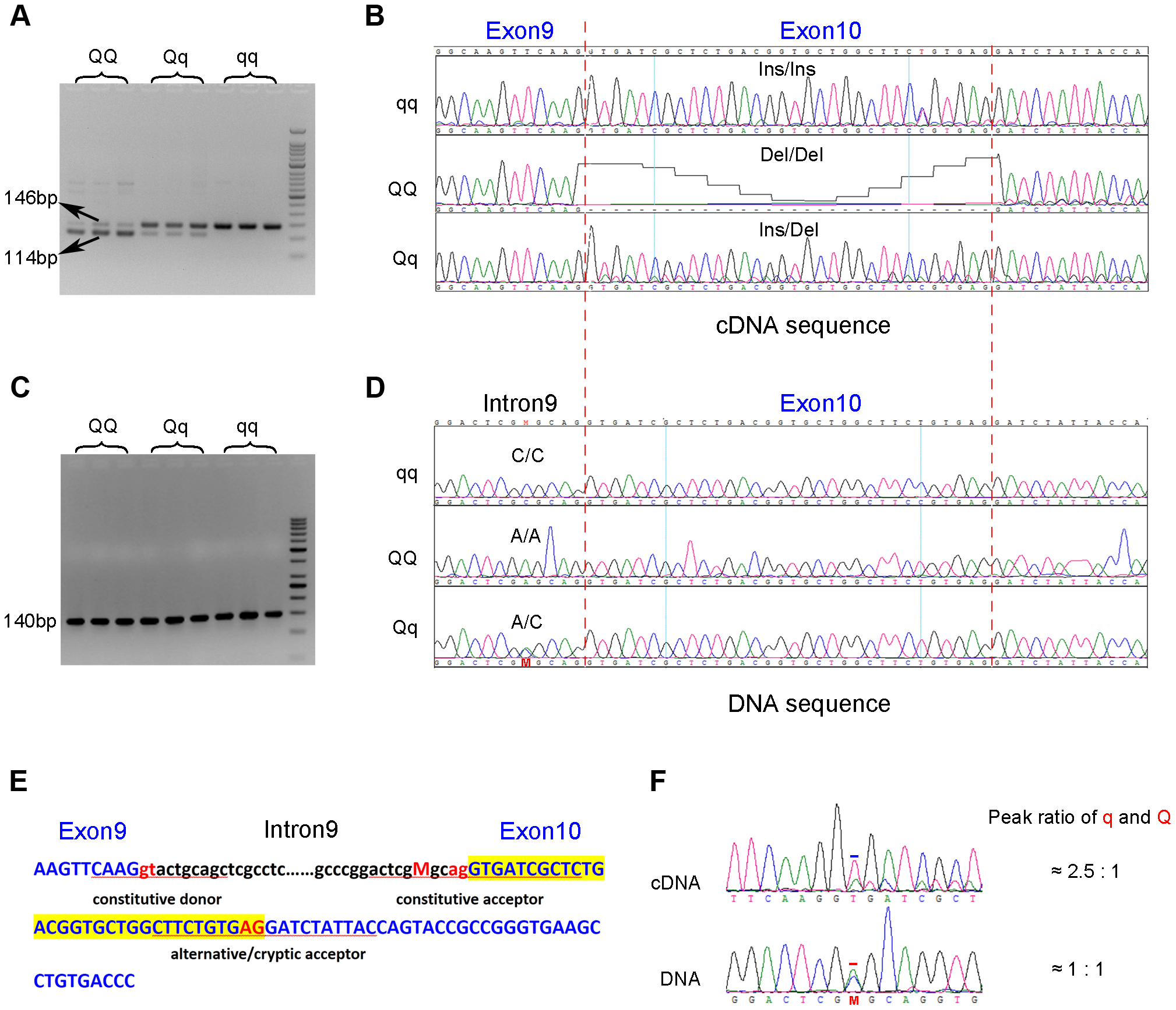 Identification of the g.8283C&gt;A splice mutation in the <i>PHKG1</i> gene.
