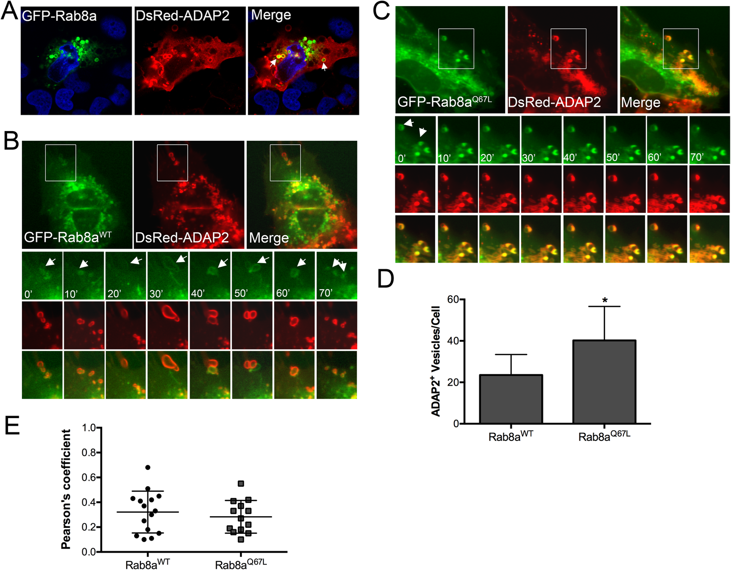 ADAP2 associates with Rab8a-positive membrane ruffles and recycling endosomes.