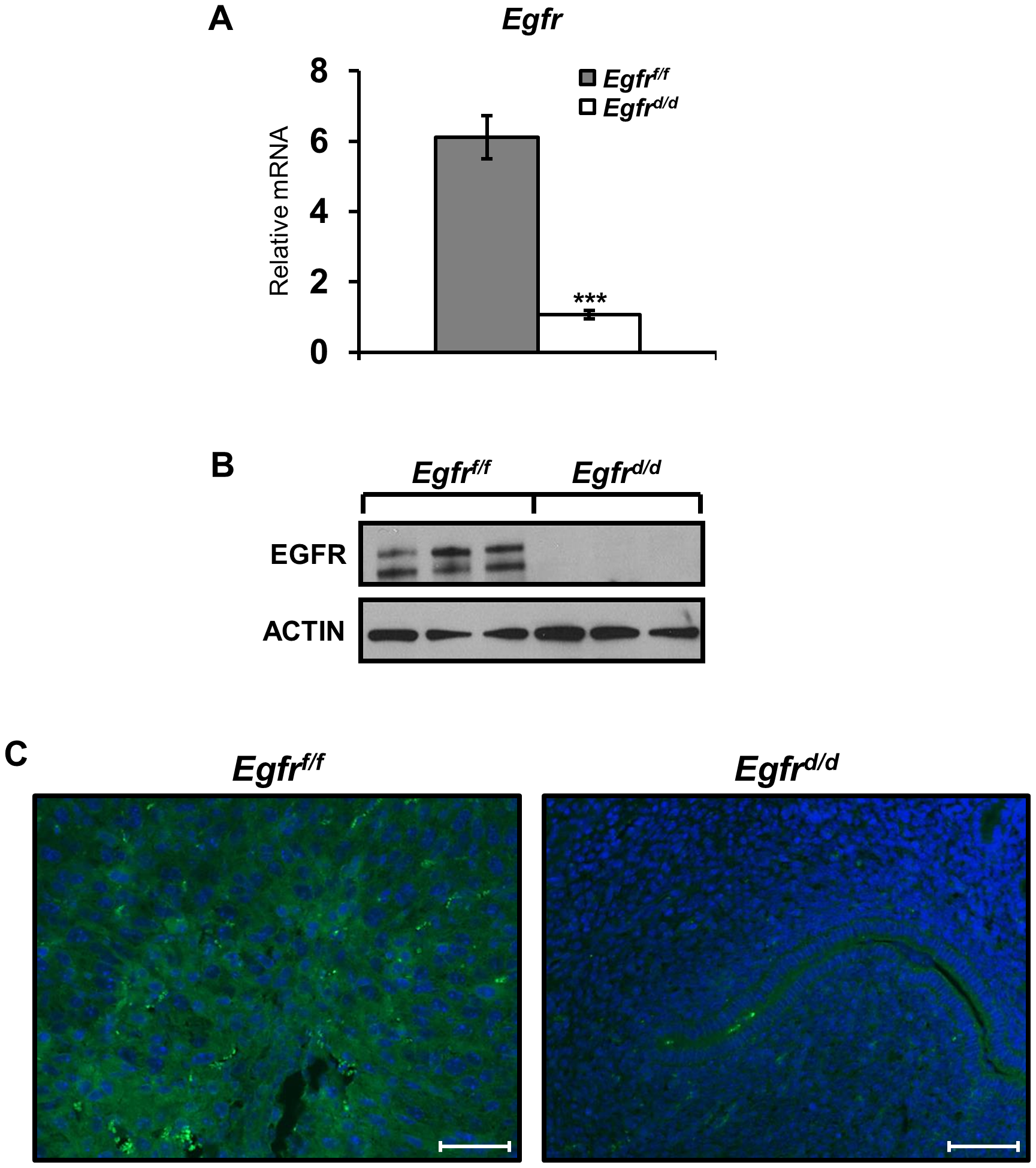 <i>Egfr</i> is effectively ablated in the murine uterus.