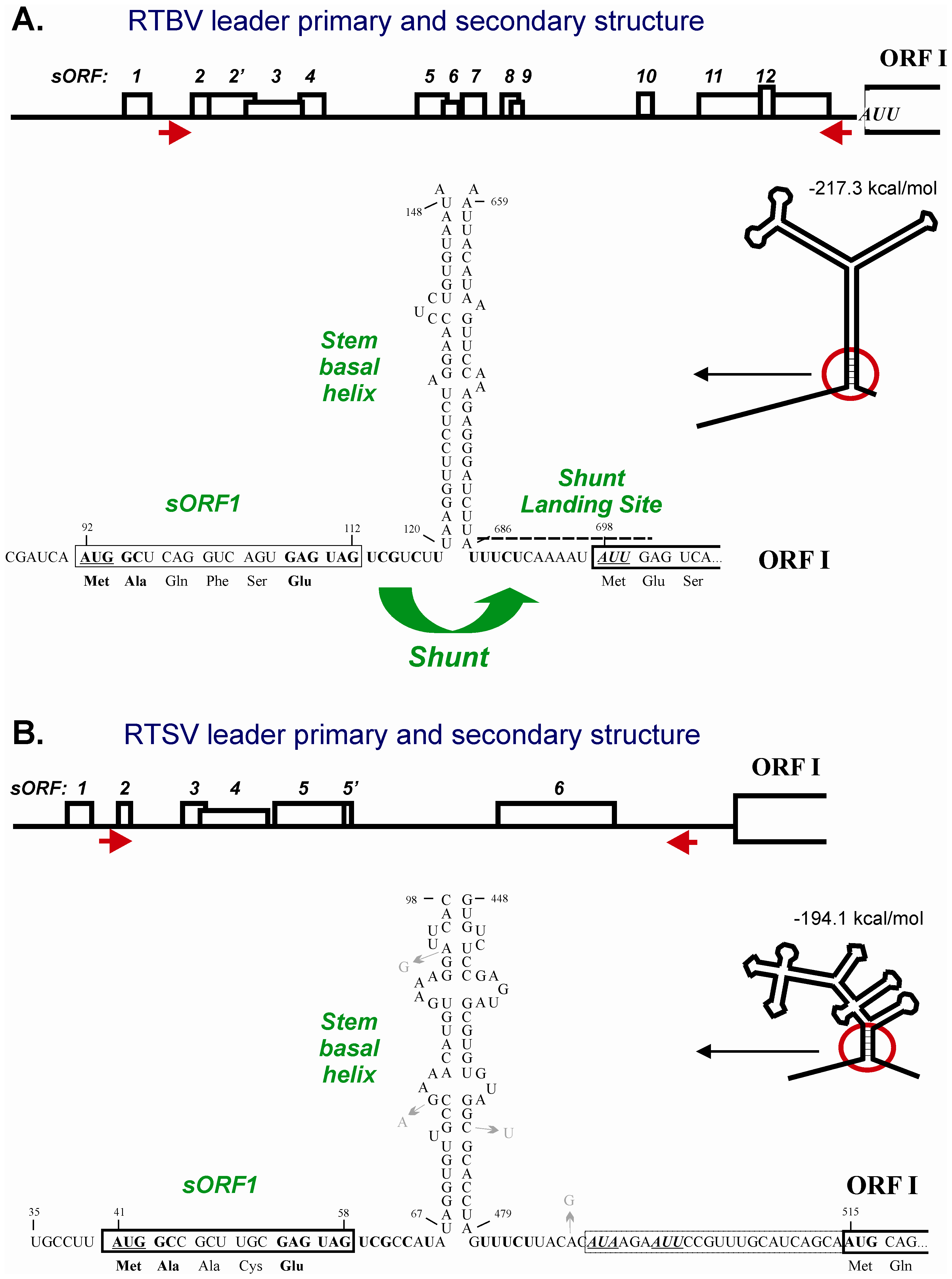 Conserved shunt configurations in the RTBV and RTSV leader sequences.