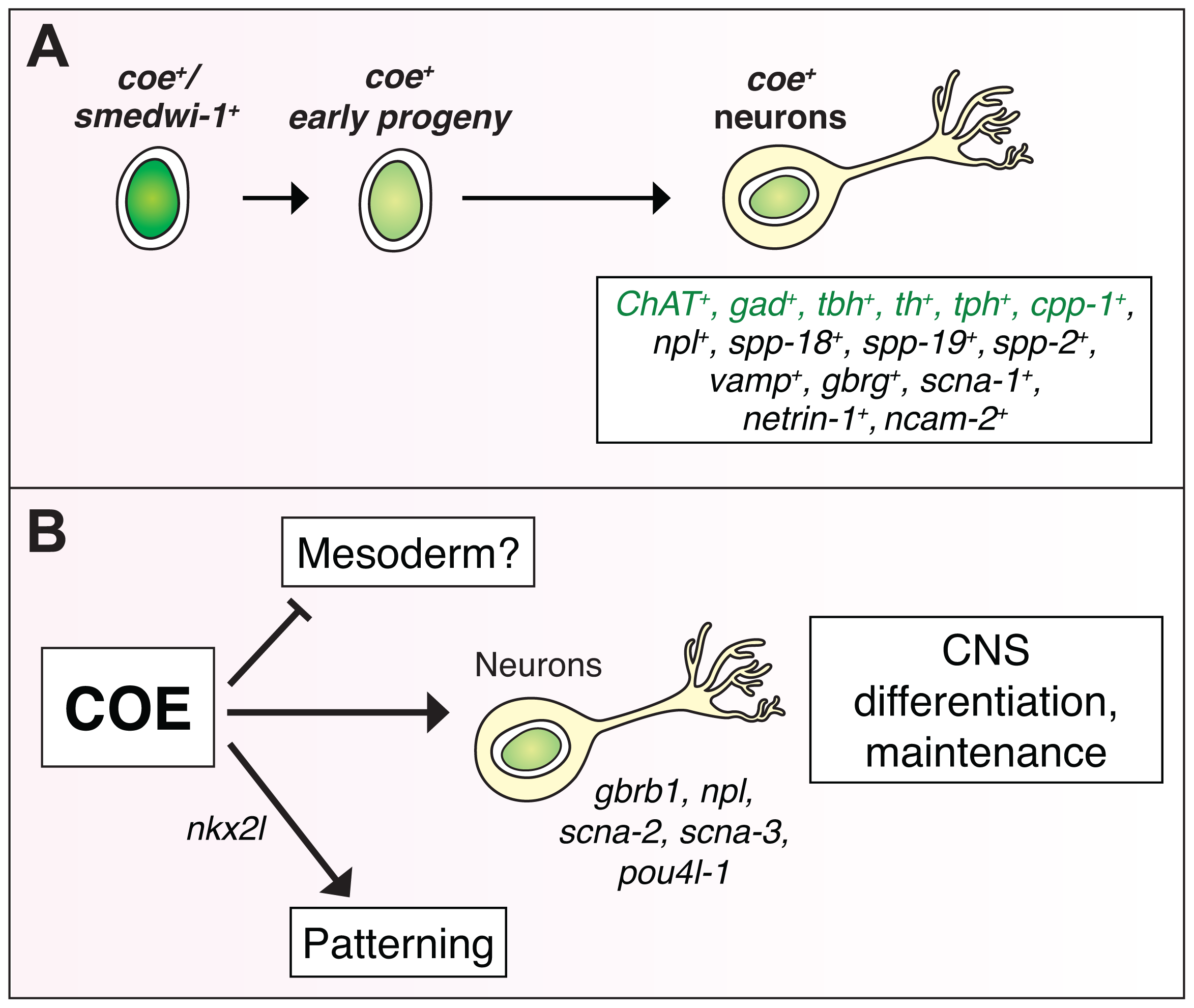 COE function is required for differentiation and maintenance of diverse neuron types.